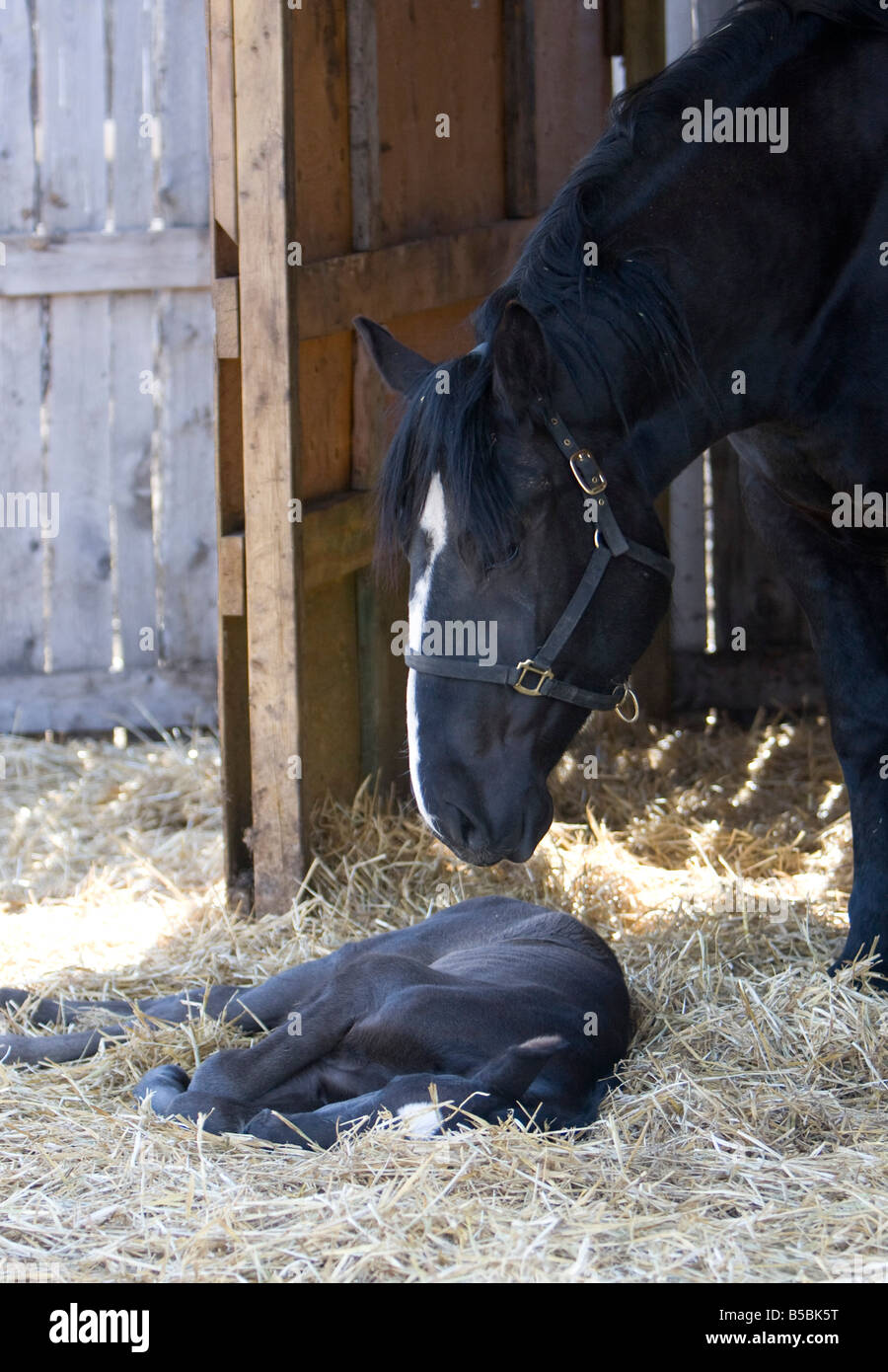 Percheron mare with foal sleeping at her side standing in a barn yard. - Stock Image