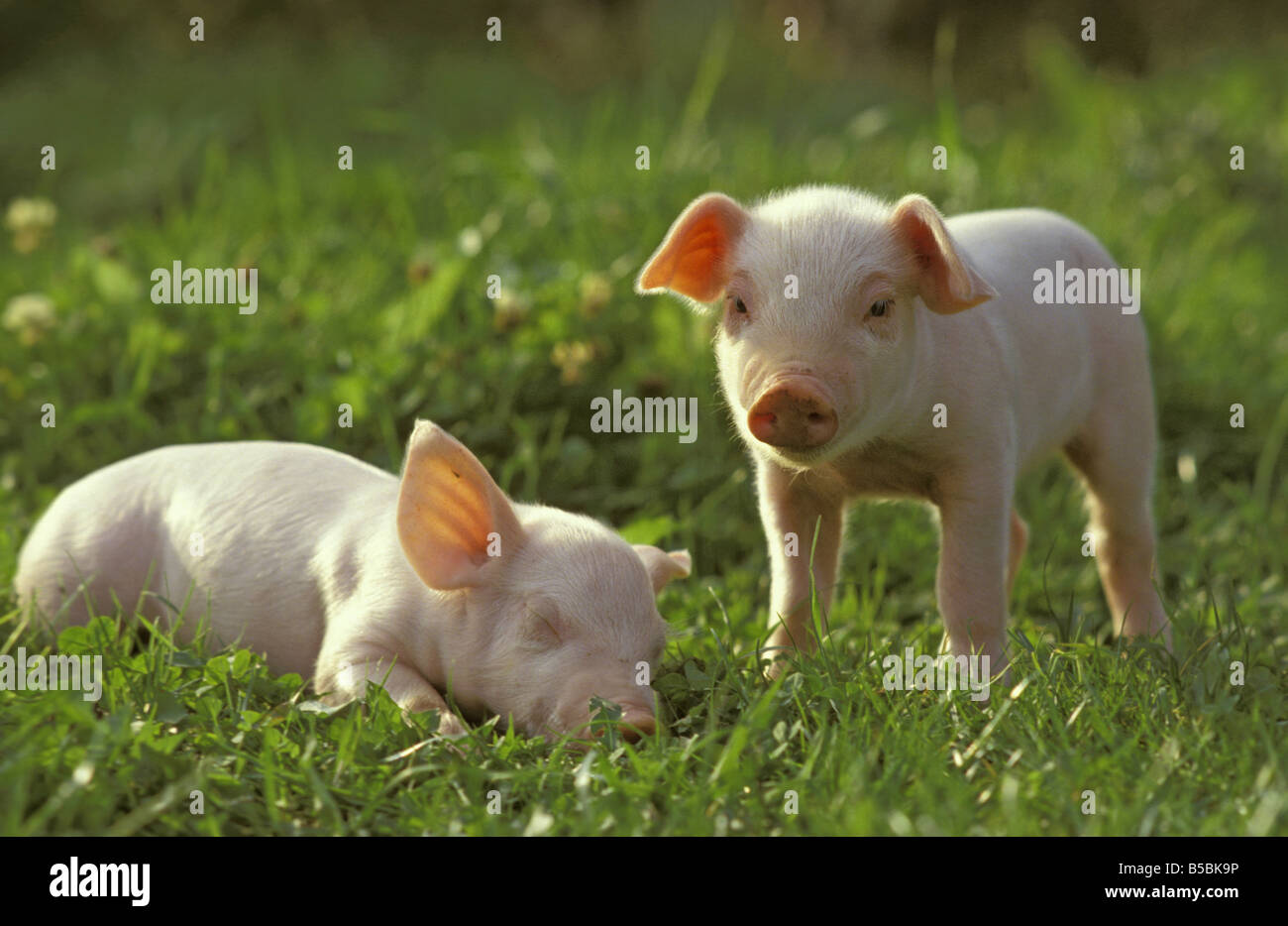 Domestic Pig (Sus scrofa domestica) two piglets on a meadow. One is sleeping the other is looking into the camera - Stock Image