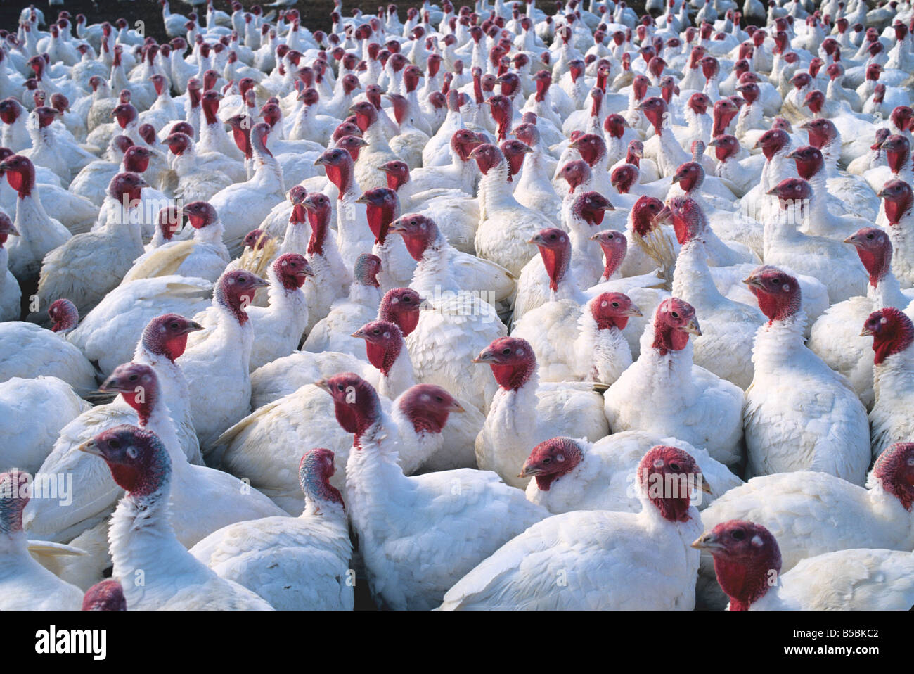 Domesticated Turkey flock. - Stock Image