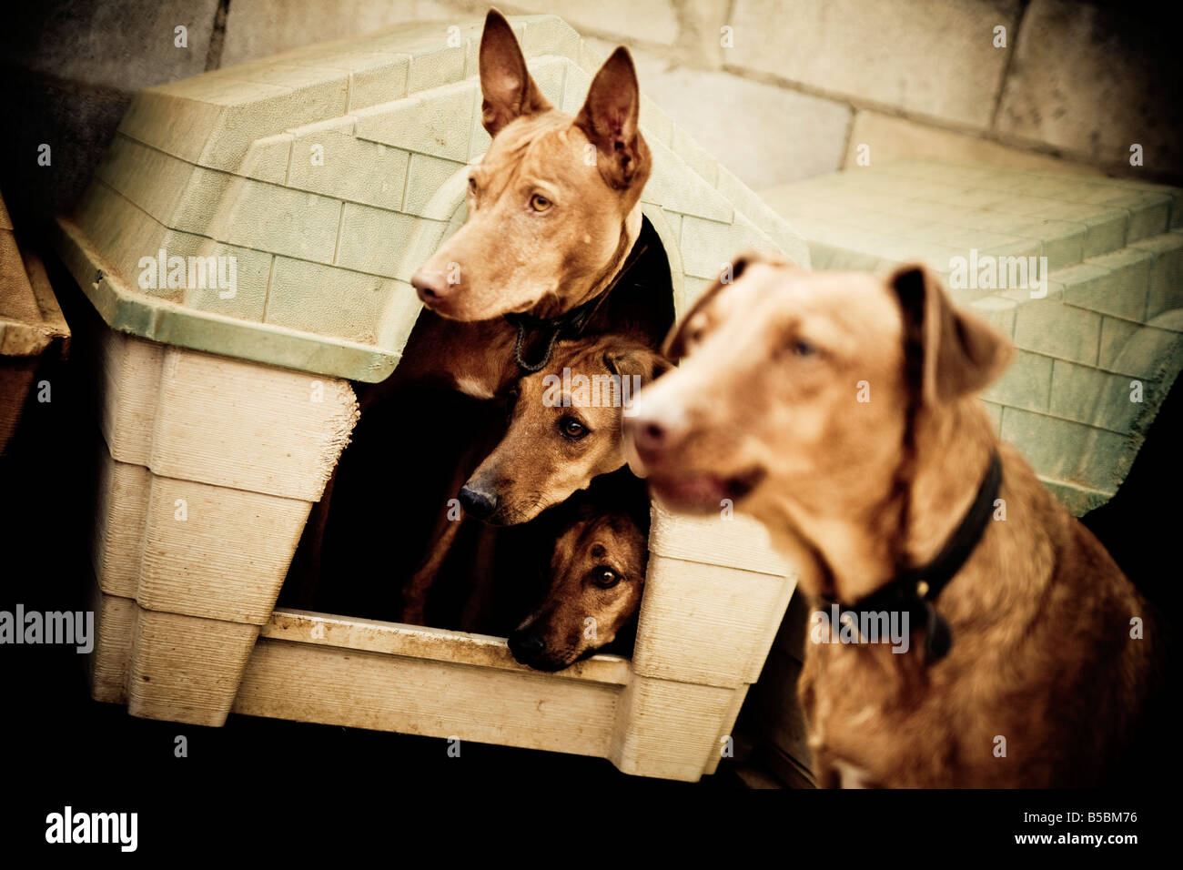 Four dogs from a rescue center, three of them are together in a small house and are looking out. - Stock Image