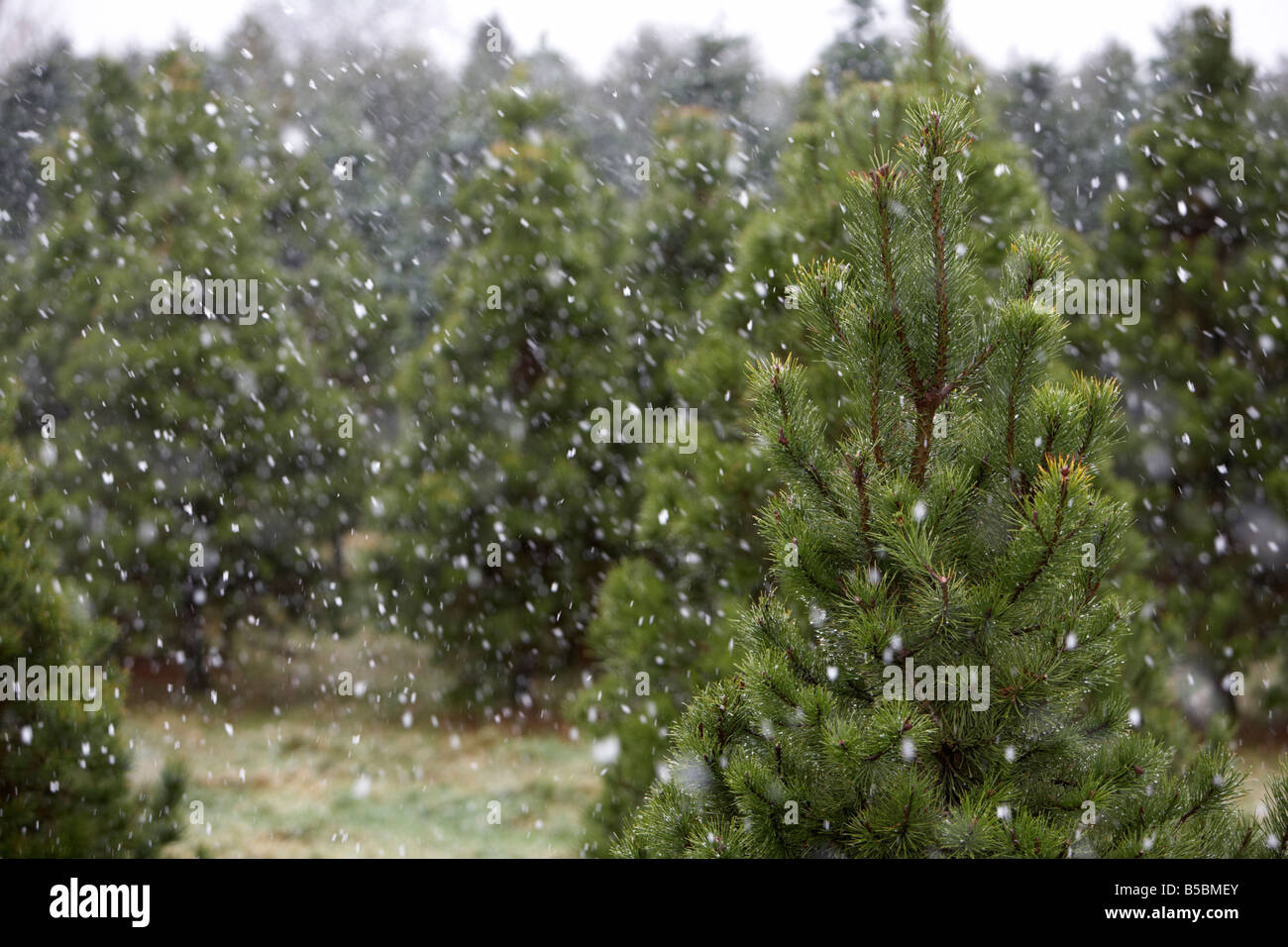 Christmas tree farm in the snow county antrim northern ireland uk - Stock Image