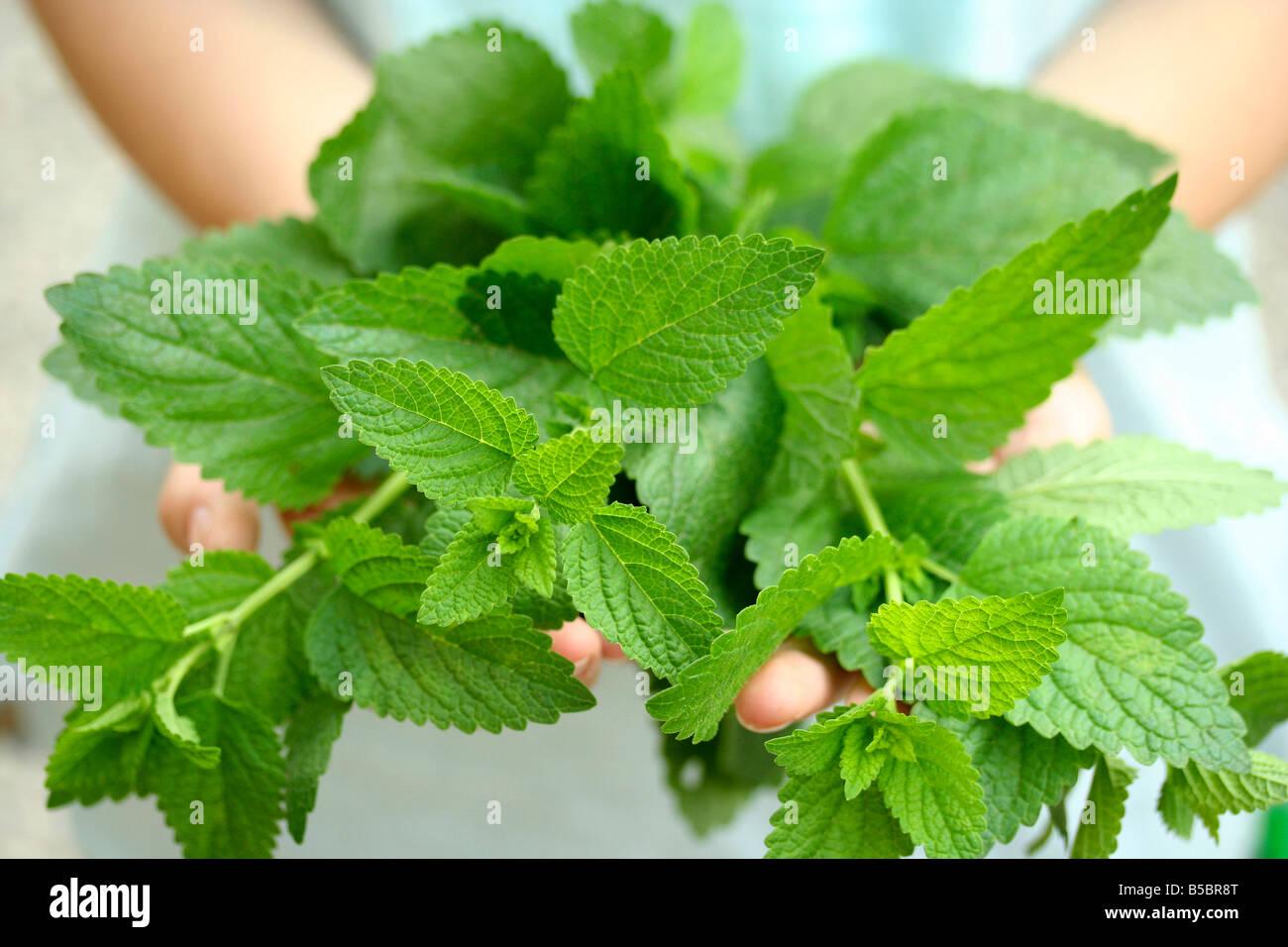 Lemon balm Melissa officinalis - Stock Image