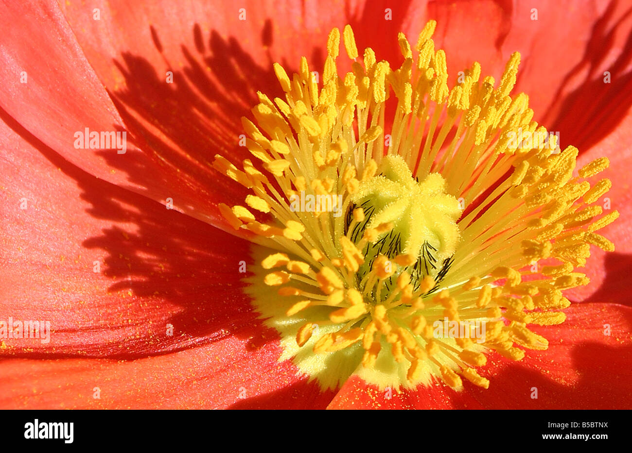 USA. Stock image of an orange Iceland poppy glowing in the sunlight. - Stock Image