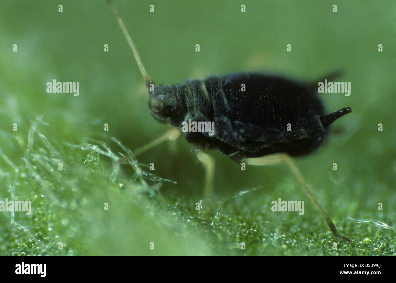 cotton aphid Aphis gossypii wingless adult - Stock Image