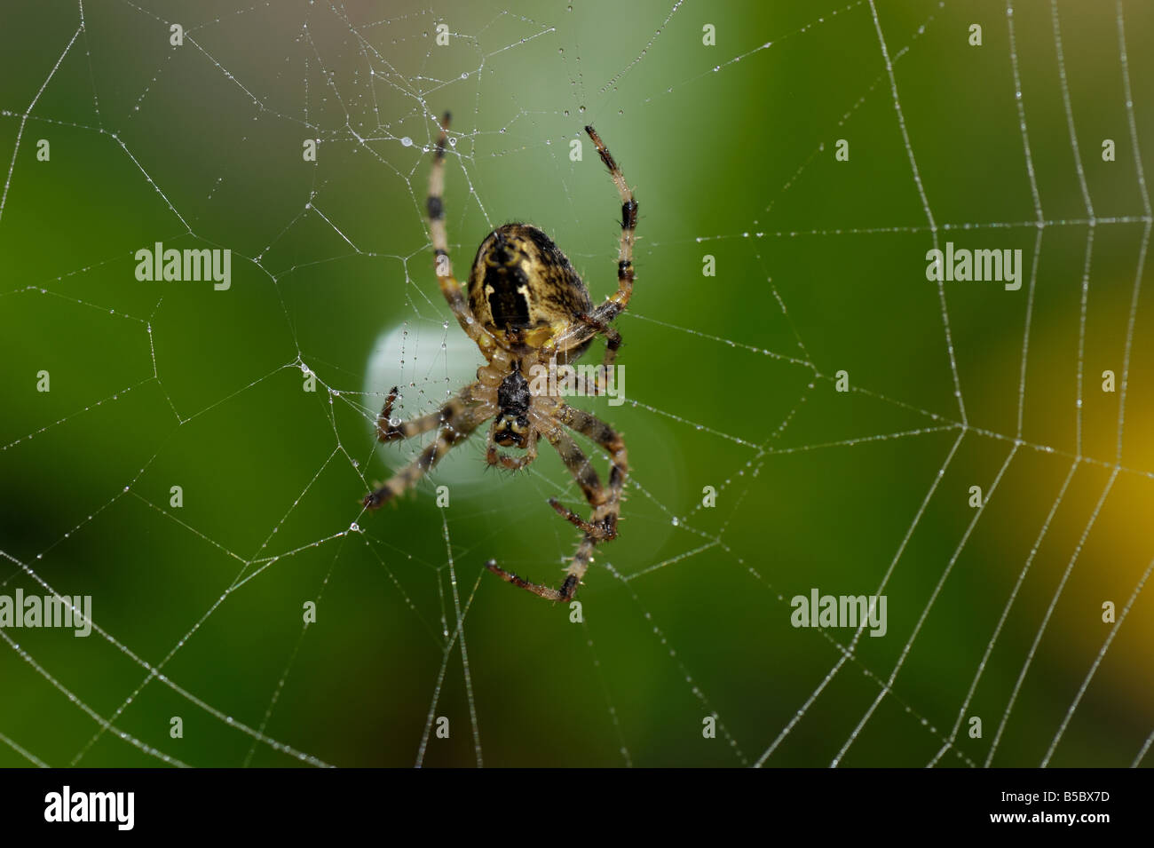 Garden spider (Araneus diadematus) waiting at the centre of an orb web in autumn - Stock Image