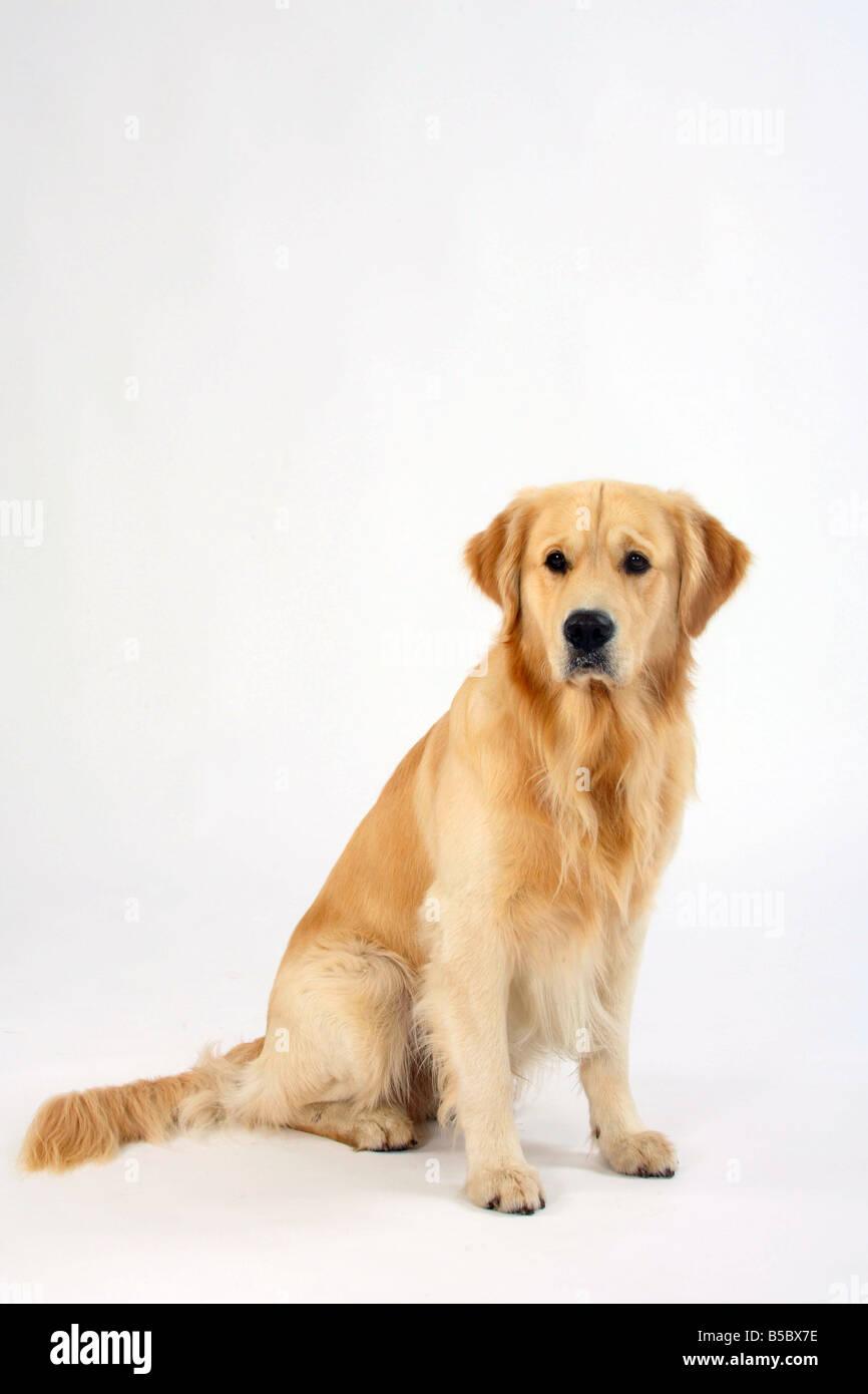 Golden Retriever - Stock Image