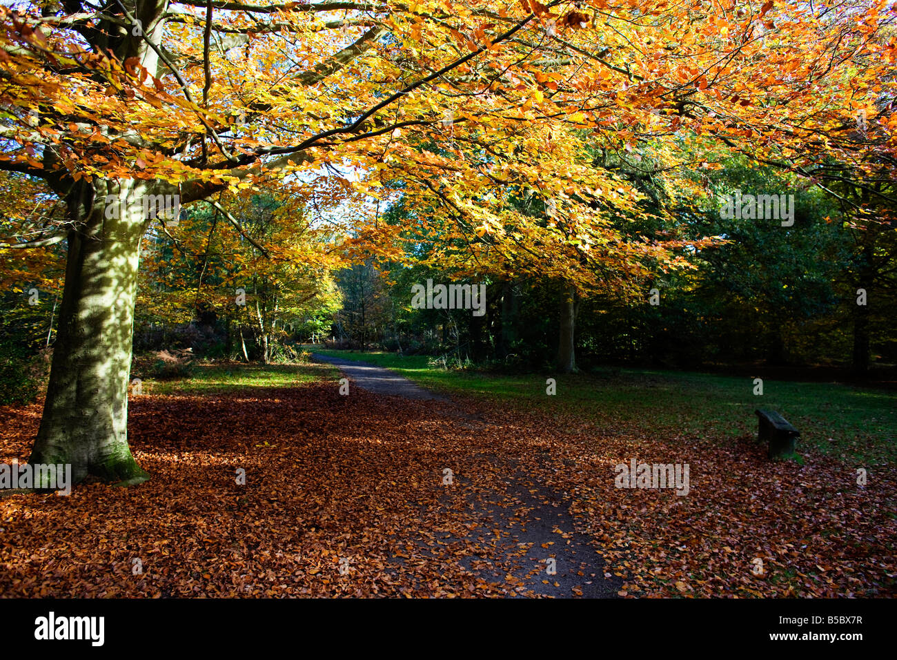 Autumn at the City of London owned Burnham Beeches in Buckinghamshire. Fallen leaves cover a small road through - Stock Image