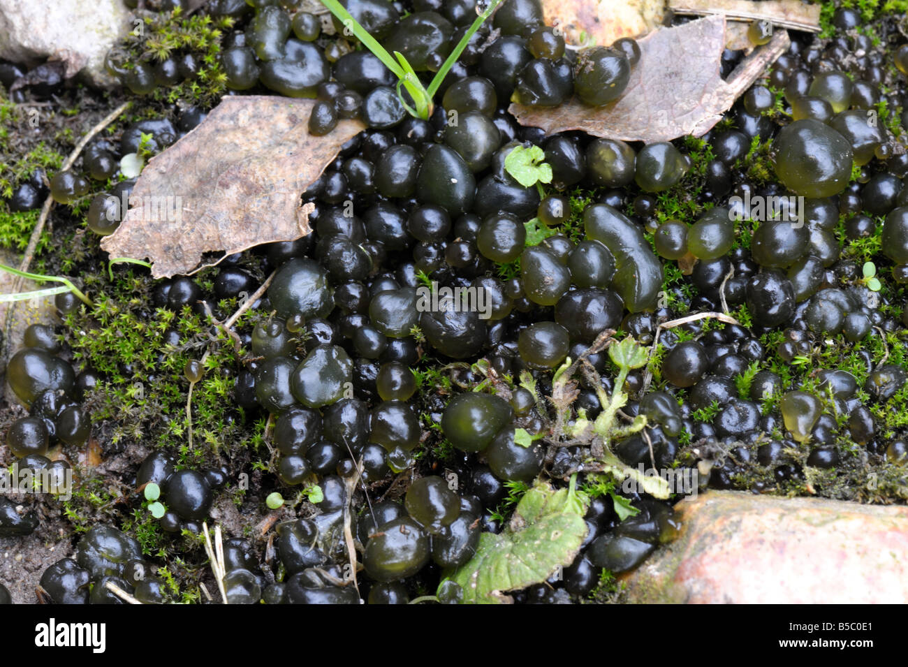 fallen star star jelly or witches butter Nostoc commune swollen moniliform cells after rain - Stock Image