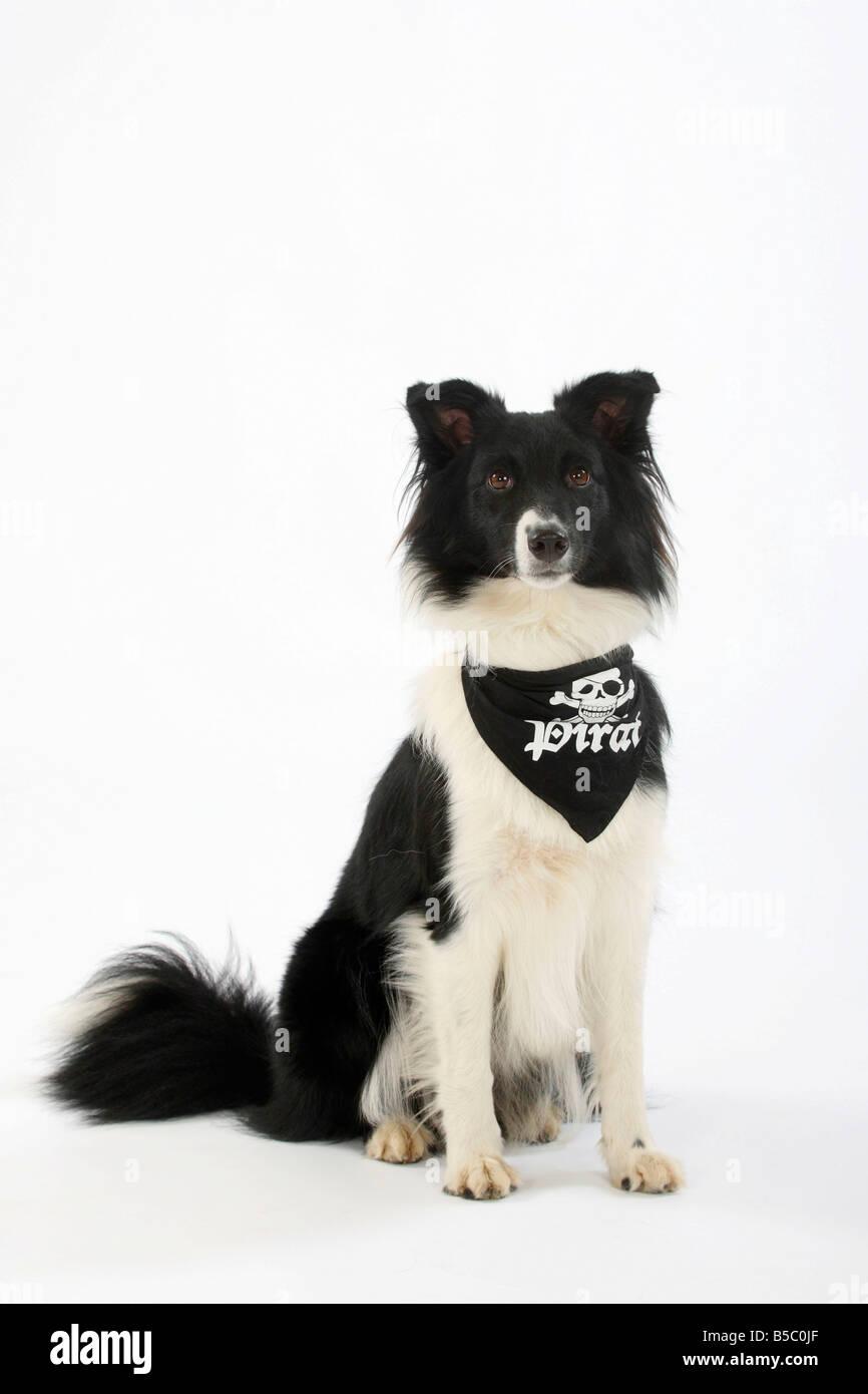 Australian Shepherd neckerchief bandana - Stock Image