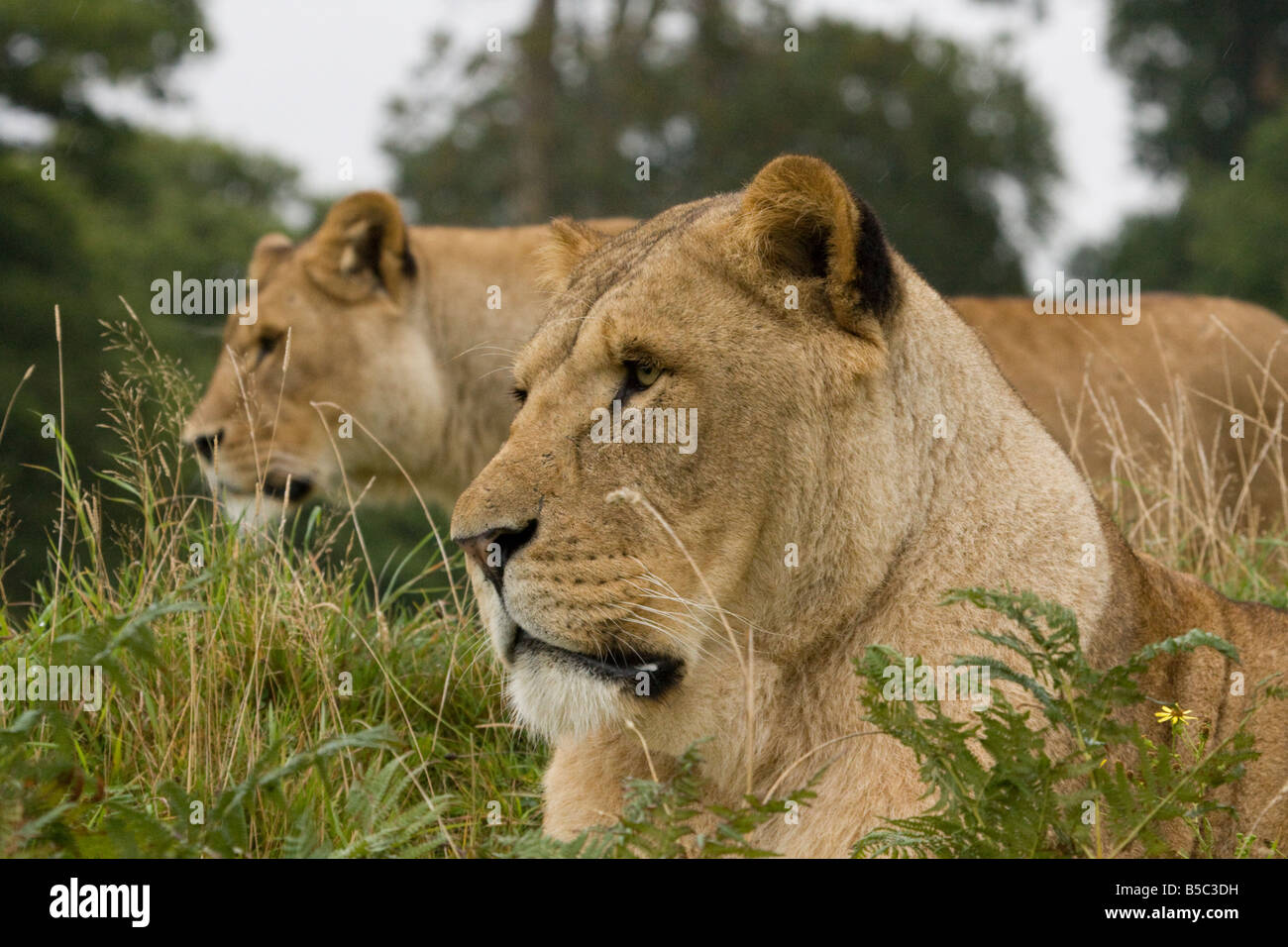Two African Lions ( Panthera leo ) Lying In The Grass - Stock Photo