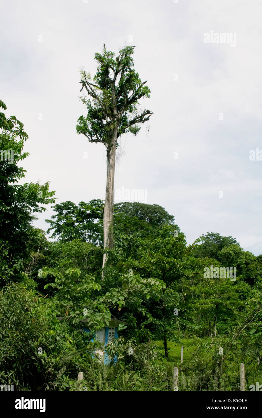 This tree stands out from the rest as it is noticeable high and clear of other trees Photo taken 04SEP08 in Puerto - Stock Image