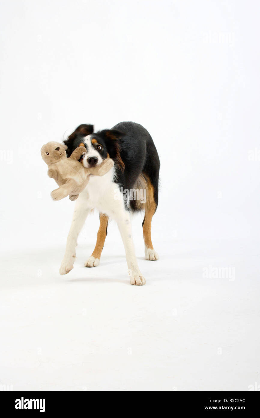 Mixed Breed Dog with cuddle toy - Stock Image
