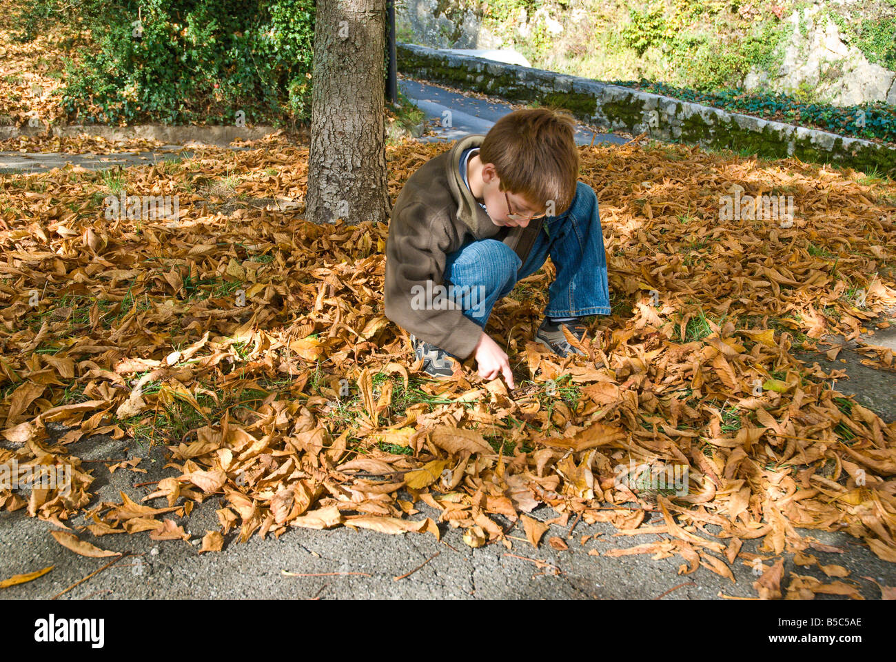 Young 8 year old boy collecting chestnuts from the ground Stock Photo