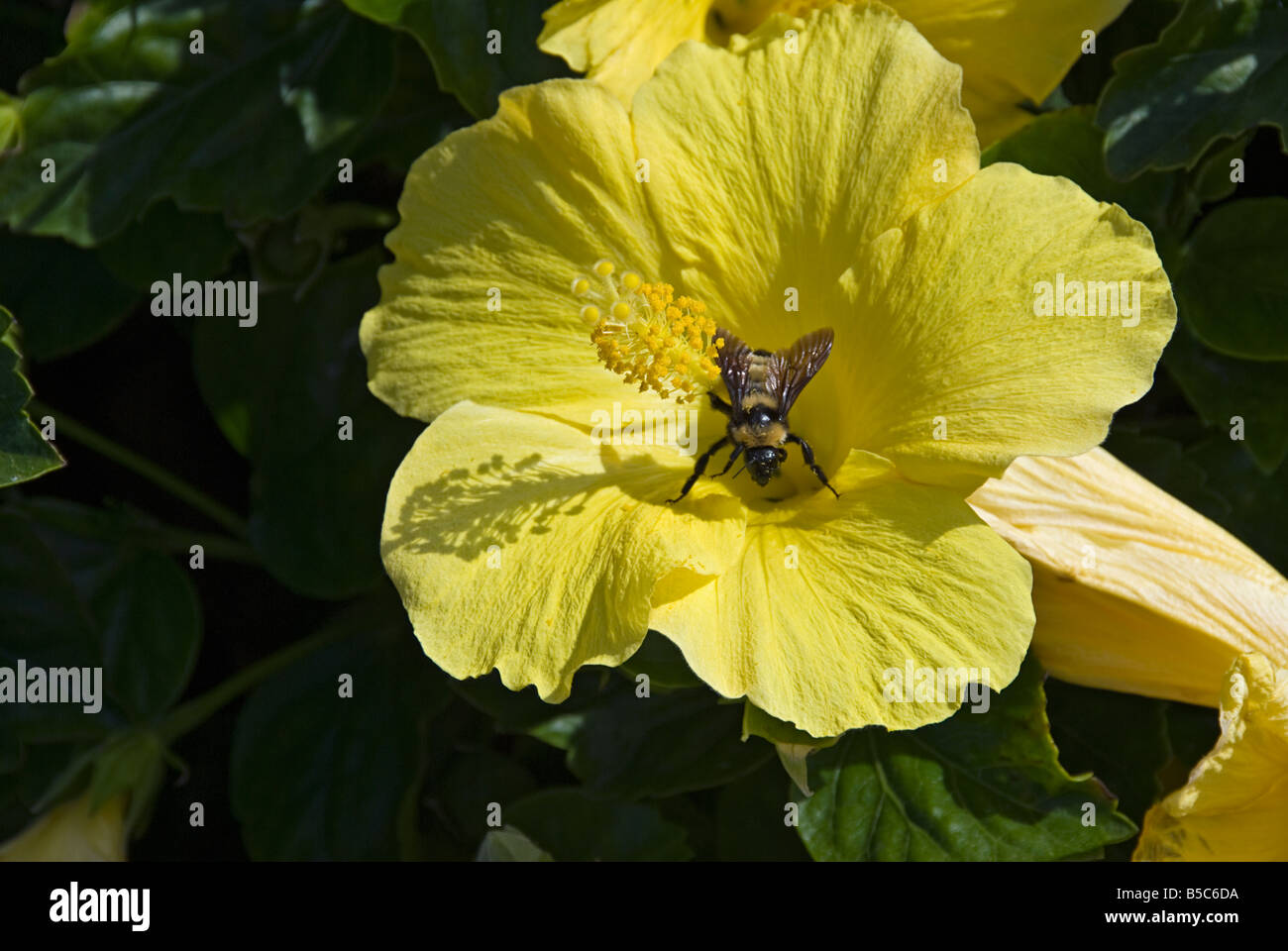 Yellow Hibiscus Flower Hibiscus Or Rosemallow Plant Bee The Leaves