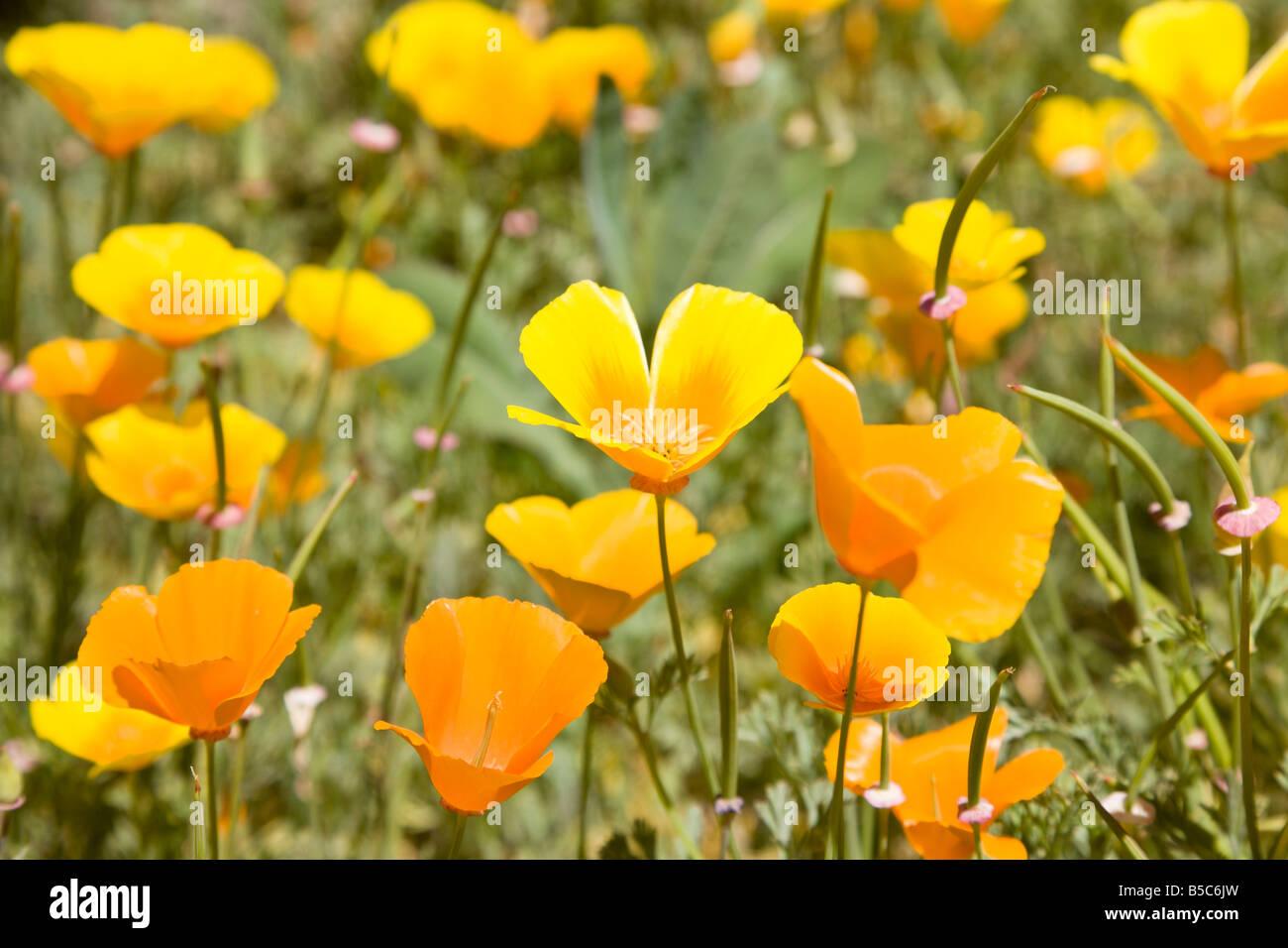 Yellow Poppies Stock Photos Yellow Poppies Stock Images Alamy