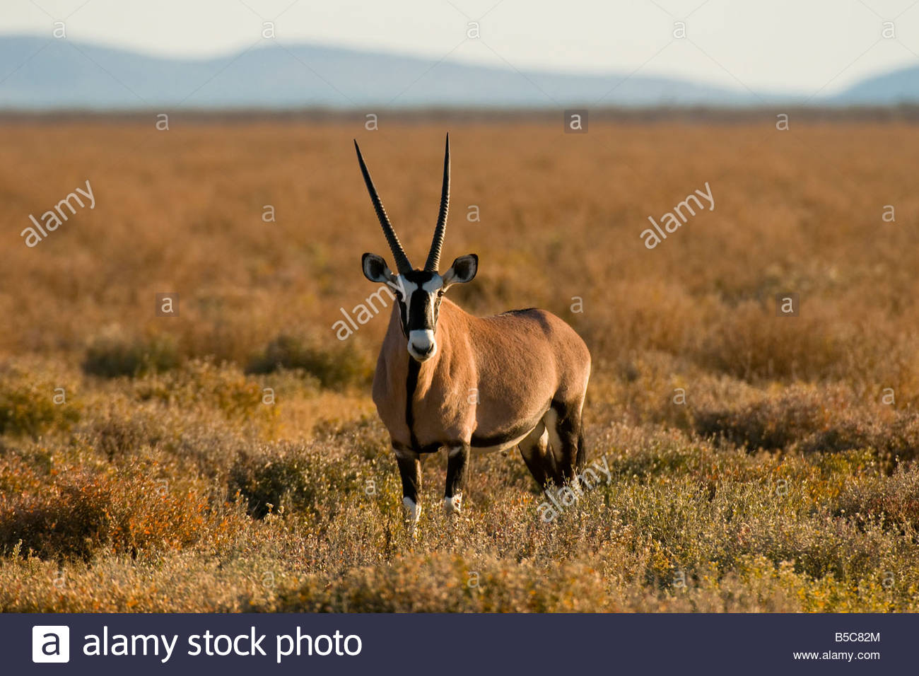 Oryx Etosha National Park Namibia - Stock Image