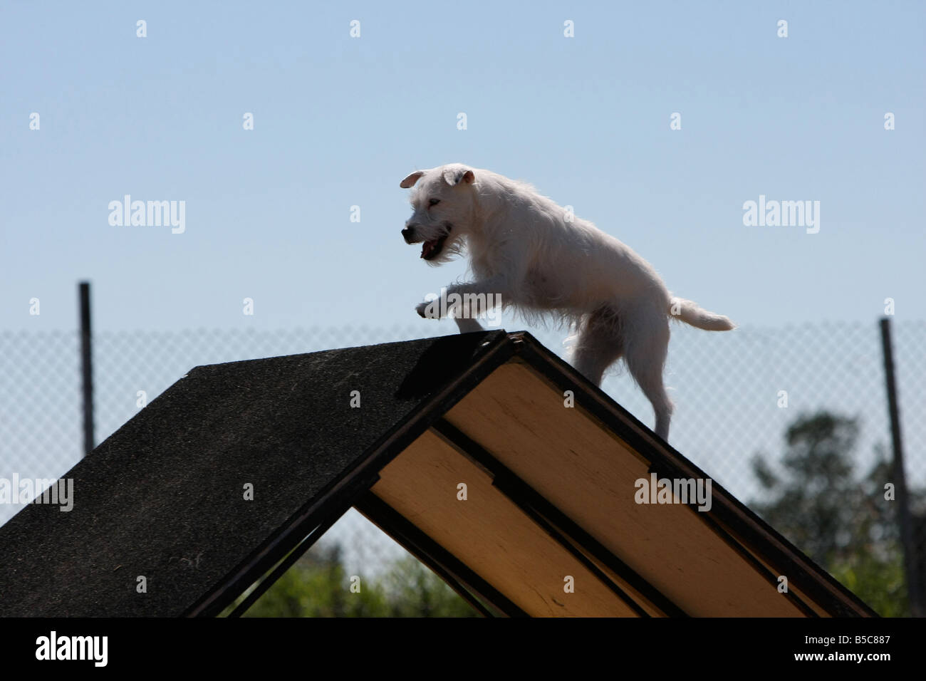 Terrier jumping across the top of an a frame at a dog agility trial ...