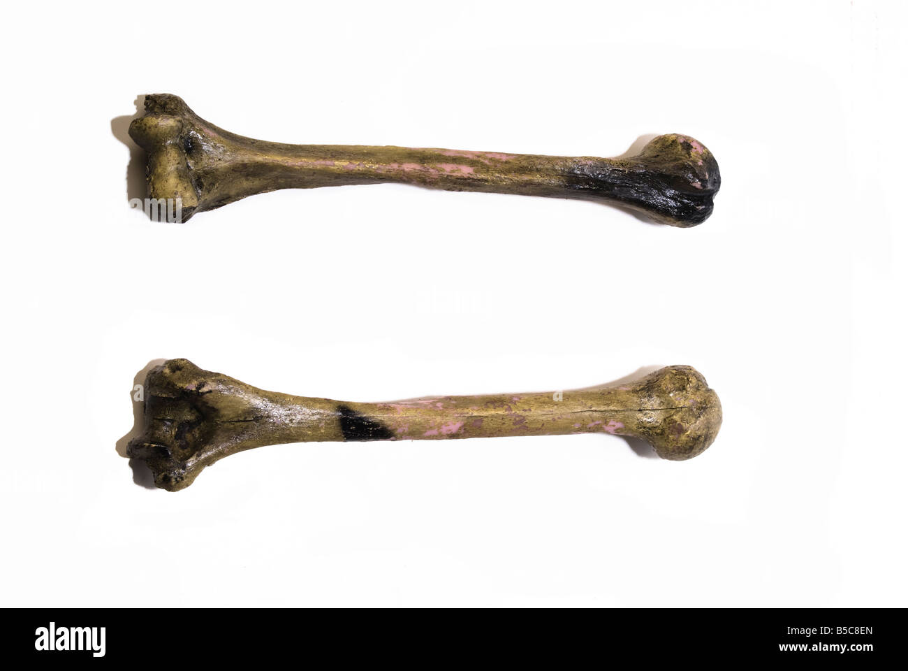 Two Human Leg Bones Has White Background And Also Could Be Use To