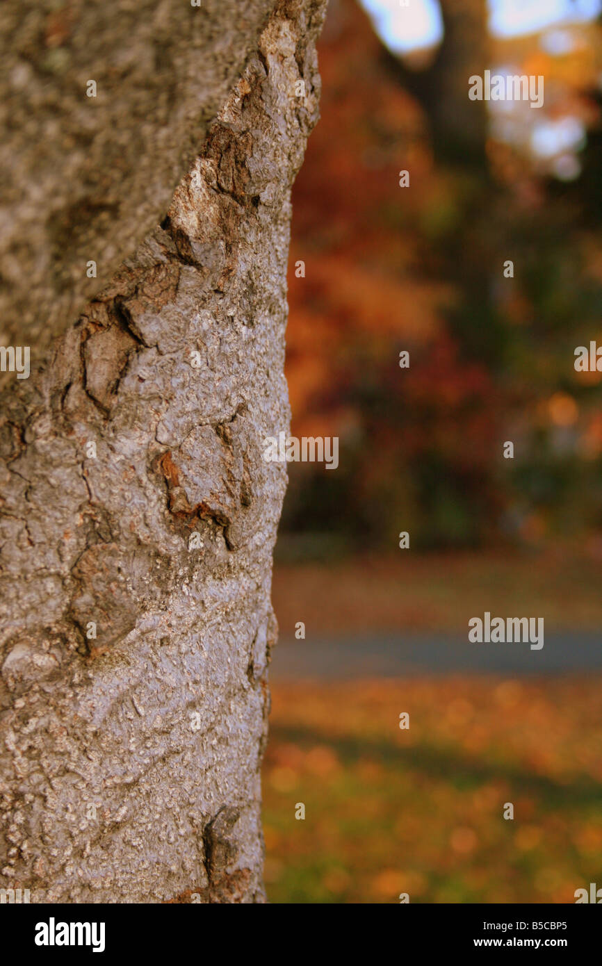 Fall color colour autumn orange brown red distressed season Atlanta Georgia tree plant photosynthesis trunk branch - Stock Image