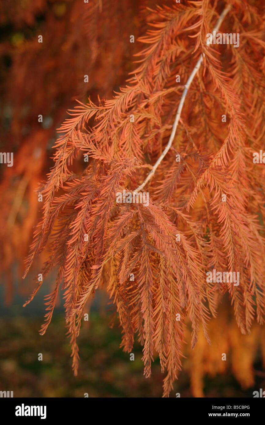 Morning light showing off the reds and brown of a cypress tree in the fall - Stock Image