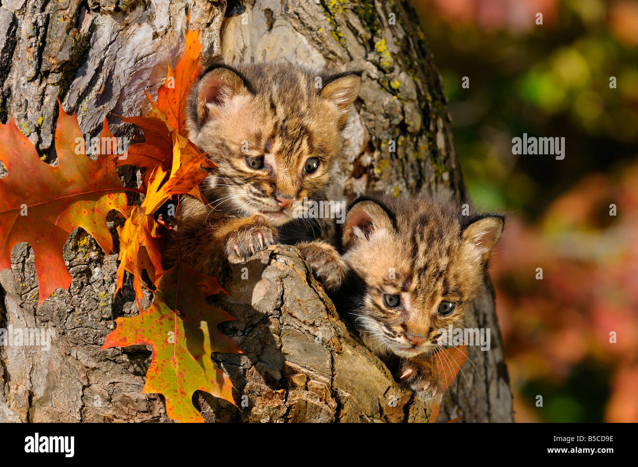 Pair of cautious Bobcat kittens peeking out from the hollow of a tree with Fall colors - Stock Image