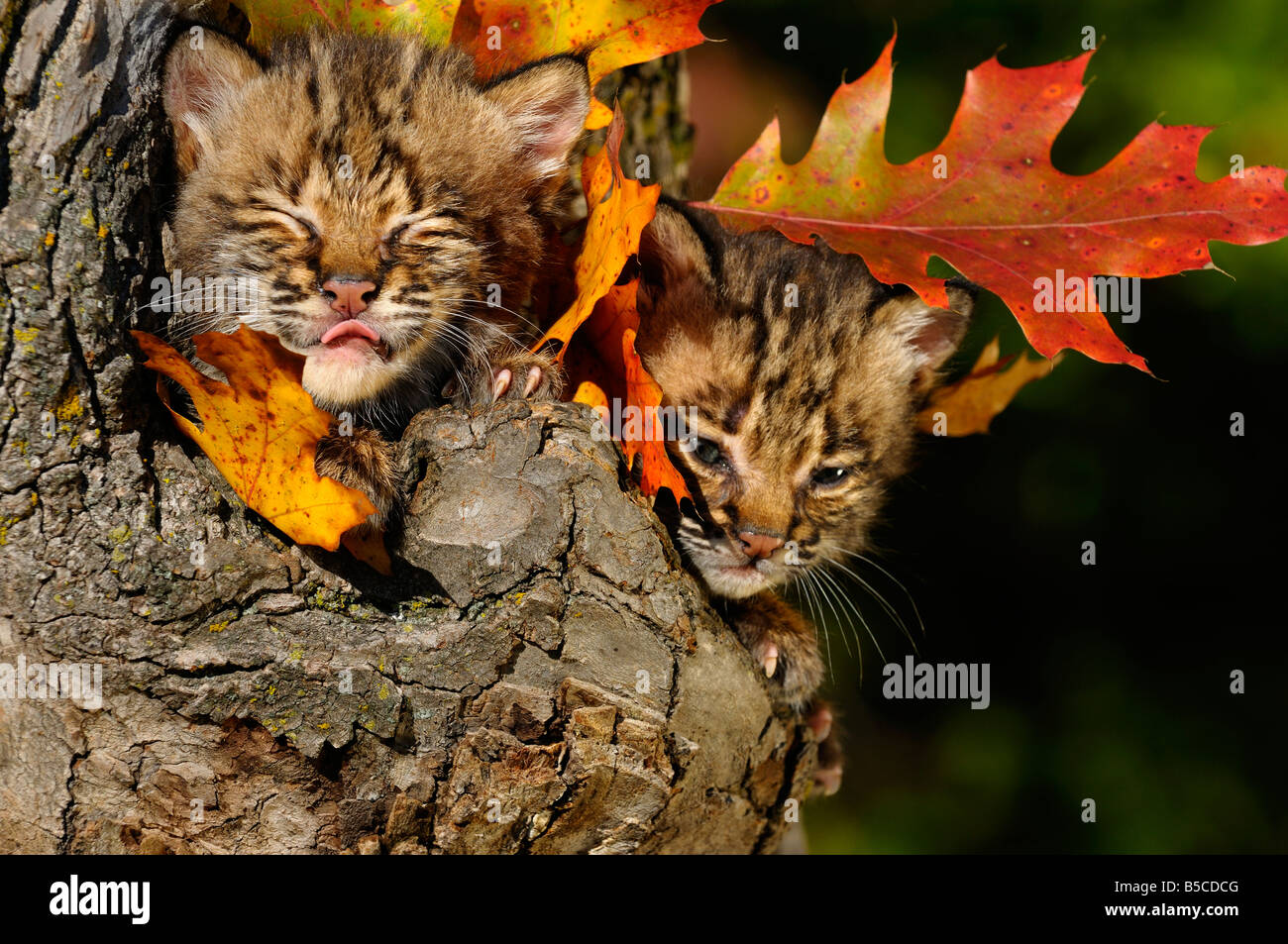 Bobcat kitten with eyes closed licking nose in a tree hollow den with Fall colored oak leaves Lynx Rufus Minnesota - Stock Image