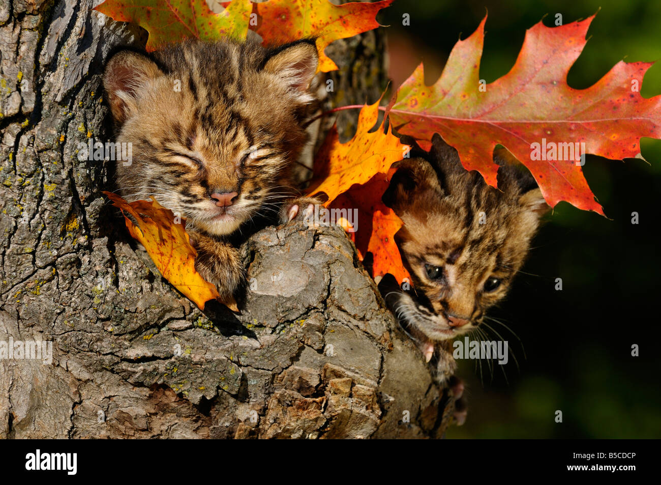 Sleepy and worried Bobcat kittens camouflaged and safe in a tree hollow den with Fall colored oak leaves - Stock Image