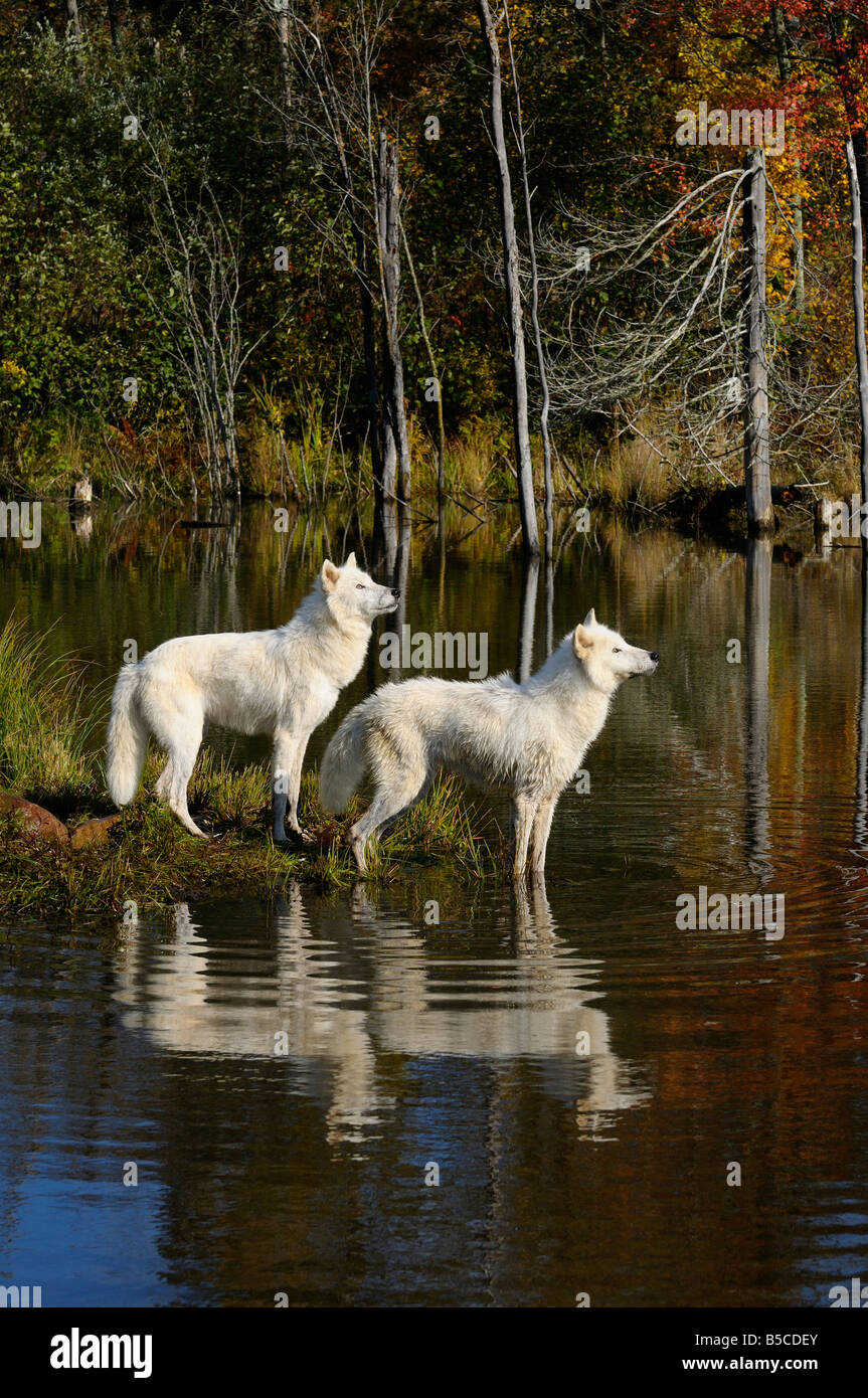 Two Arctic Wolves watching waterfowl reflected at the edge of a lake with an Autumn forest - Stock Image