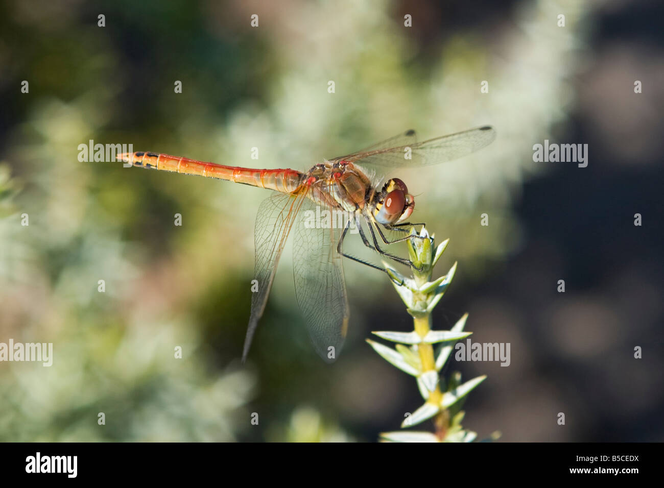 Common male Red-Veined Darter Dragonfly, Sympetrum striolatum, Island of Rhodes, Greece Stock Photo
