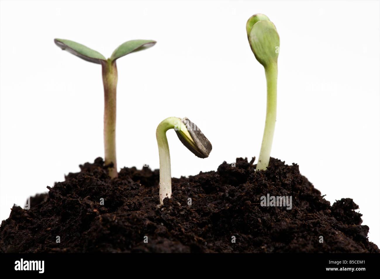 Sunflower Seedlings emerging from soil - Stock Image