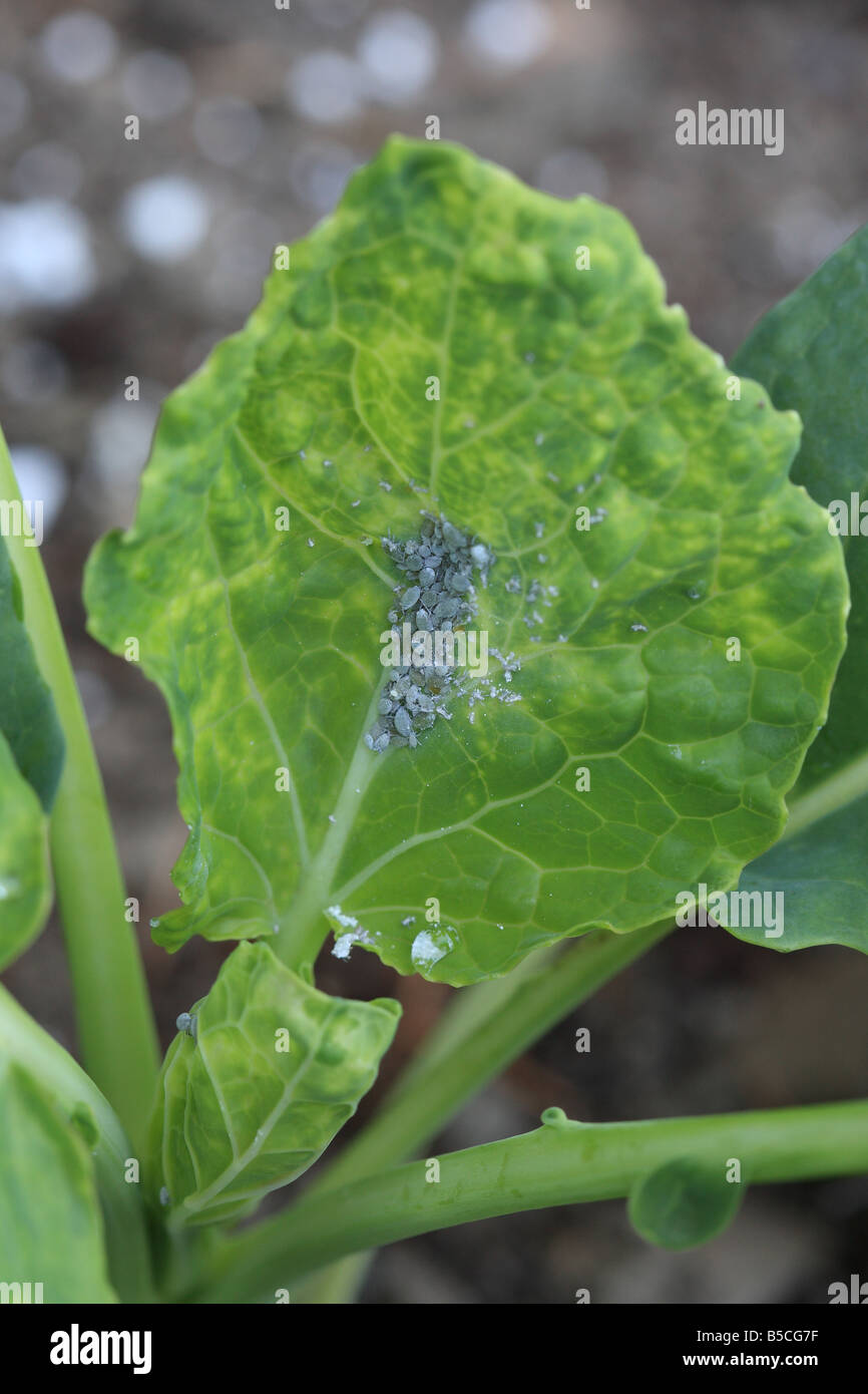 CABBAGE APHID Brevicoryne brassicae COLONY ON CABBAGE LEAF - Stock Image