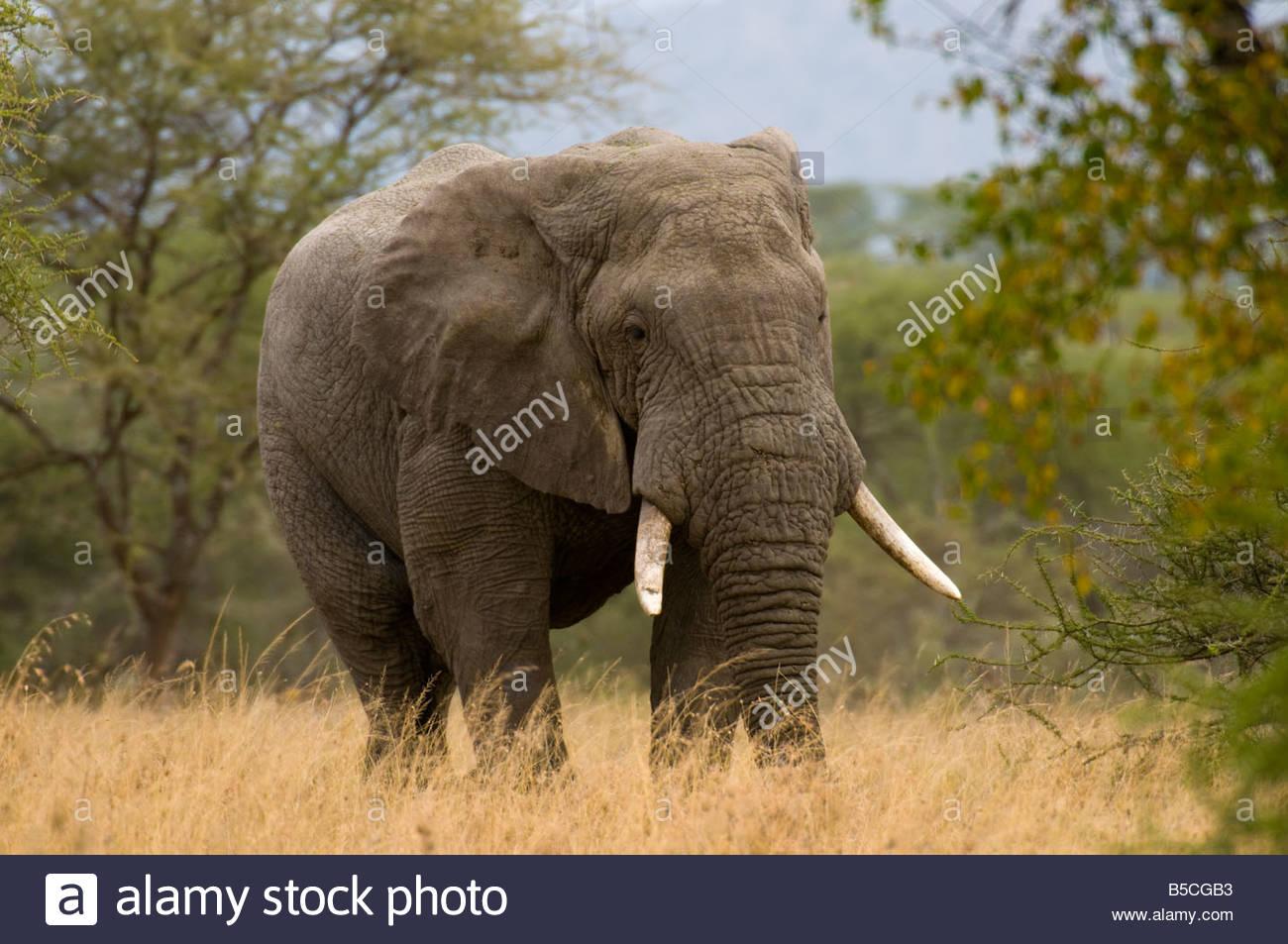 African Bull Elephant Serengeti National Park Tanzania - Stock Image