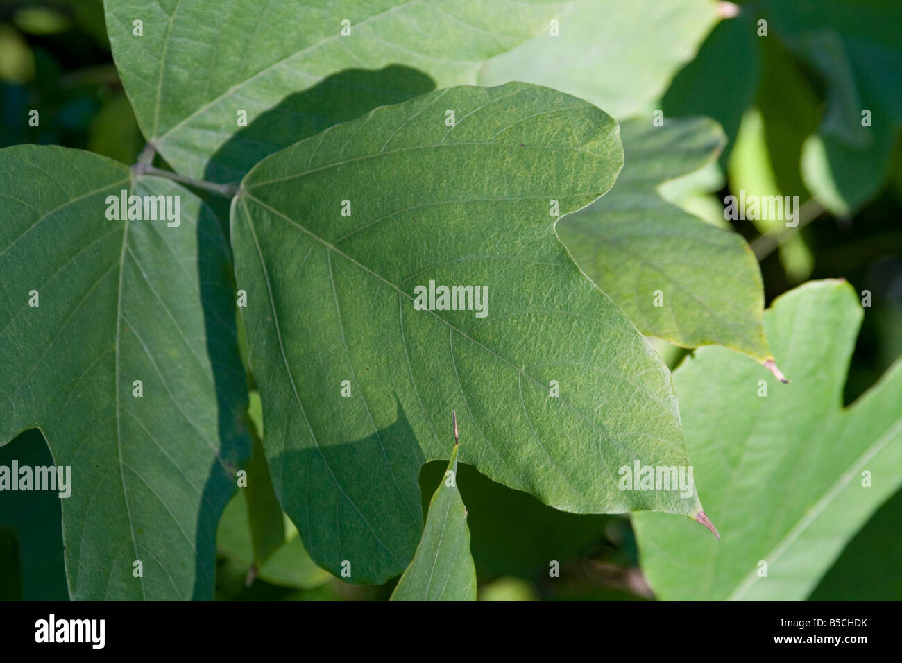 Axil Blade Chlorophyll green Leaf Petiole photosynthesis plant Stipule Tip tree vein veins yellow - Stock Image