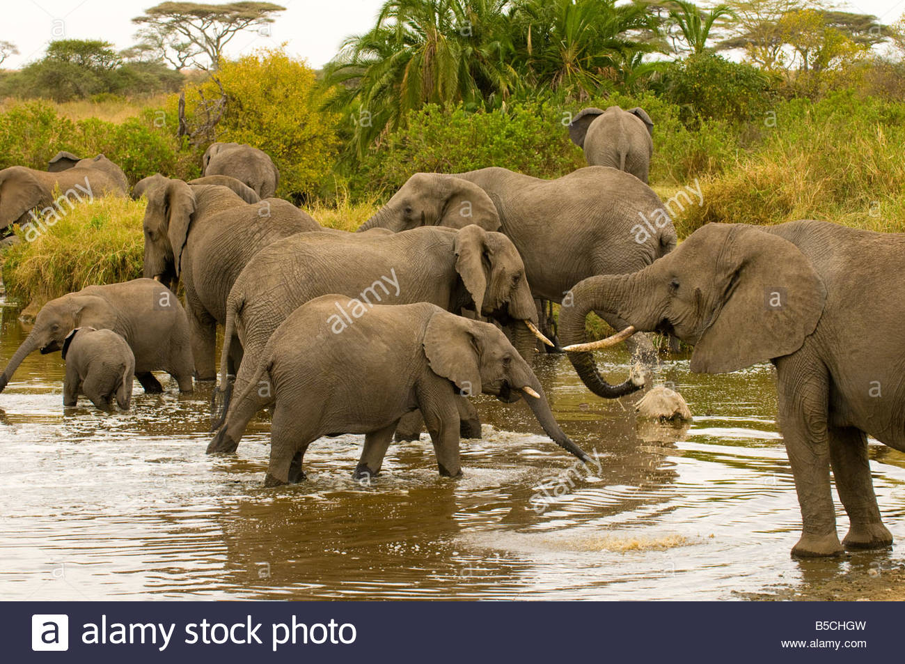 A herd of African Elephants at a watering hole Serengeti National Park Tanzania - Stock Image