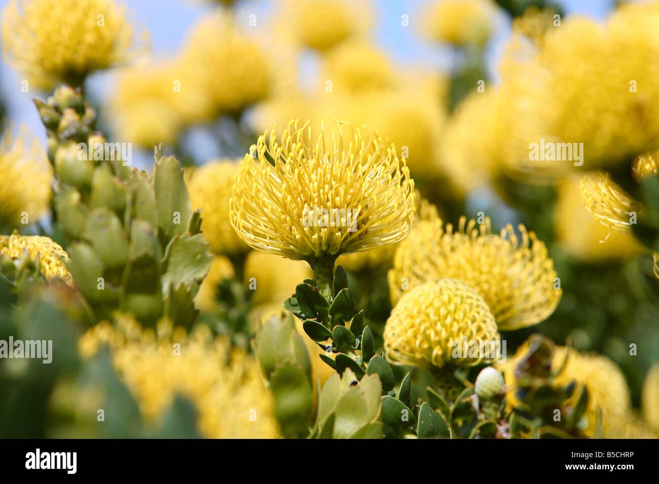 Yellow Bird Pincushion Protea Leucospermum Cordifolium Stock Photo
