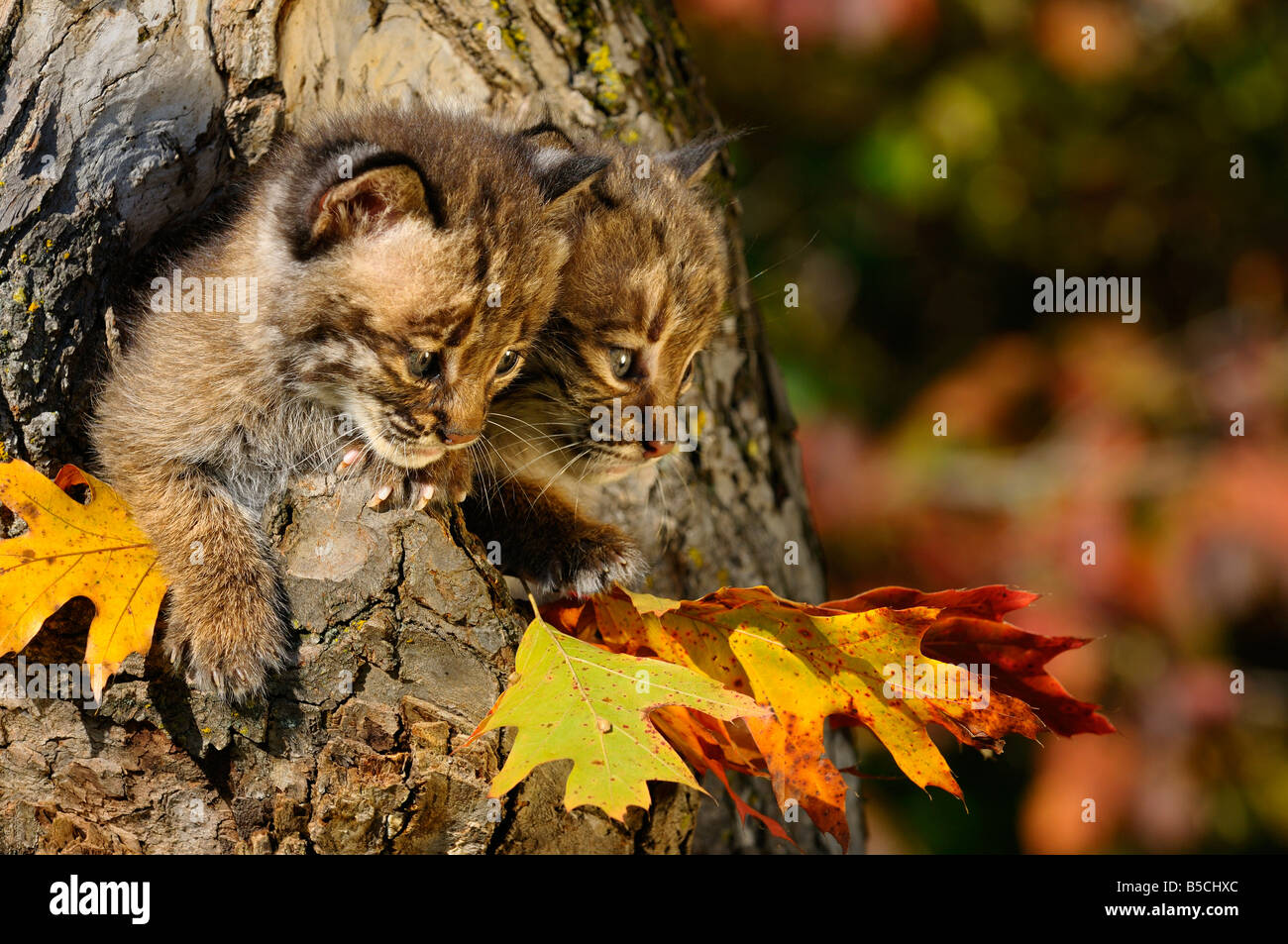 Pair of cautious Bobcat kittens looking out from the hollow of a tree with Fall colors Lynx Rufus Minnesota USA - Stock Image