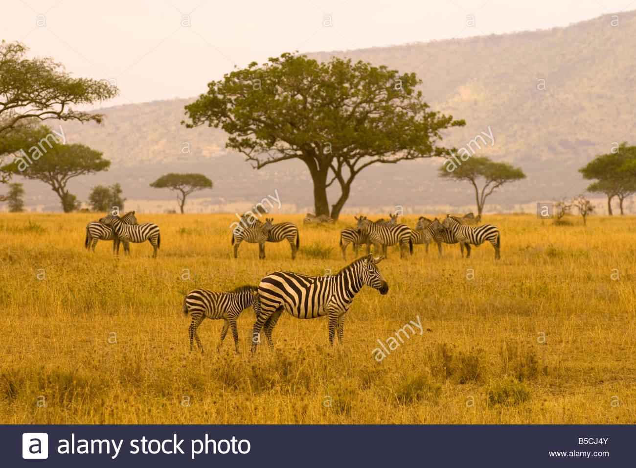 A herd of zebra Serengeti National Park Tanzania - Stock Image