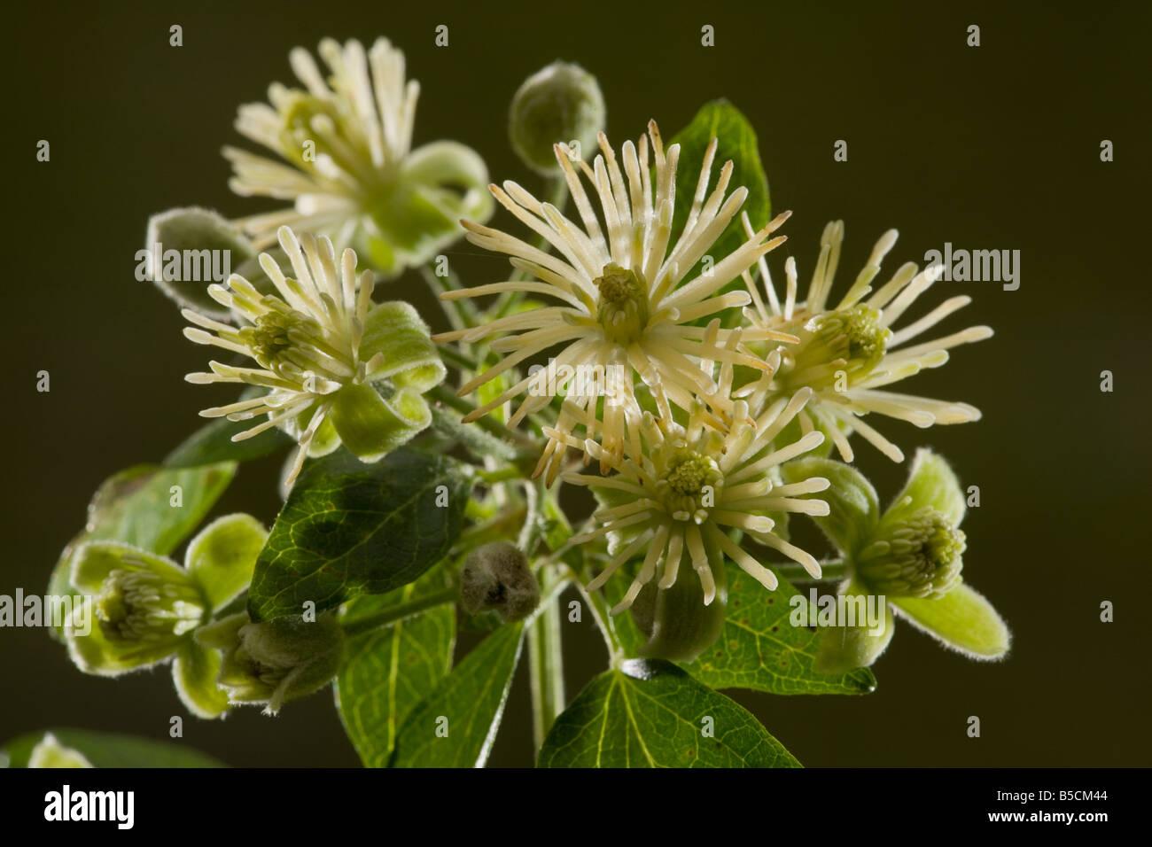 Traveller s joy or Old man s beard Clematis vitalba in flower Dorset - Stock Image