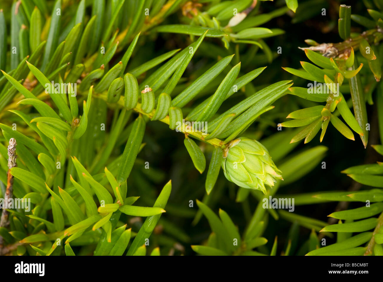 Artichoke gall on yew bud caused by a gall fly Taxomyia taxi - Stock Image
