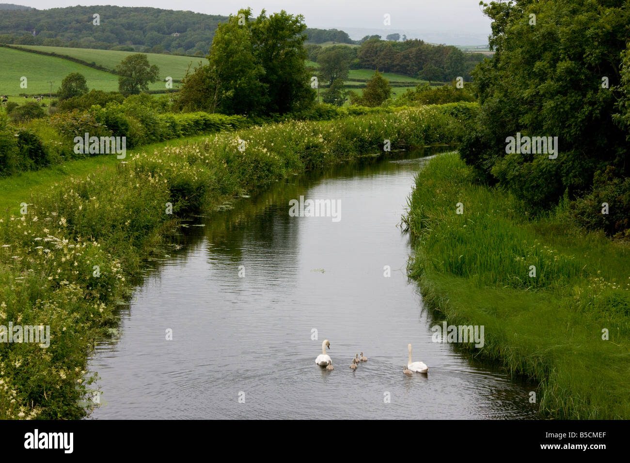 Lancaster Canal near Carnforth Lancashire with towpath and very flowery banks with Mute Swan Cygnus olor - Stock Image