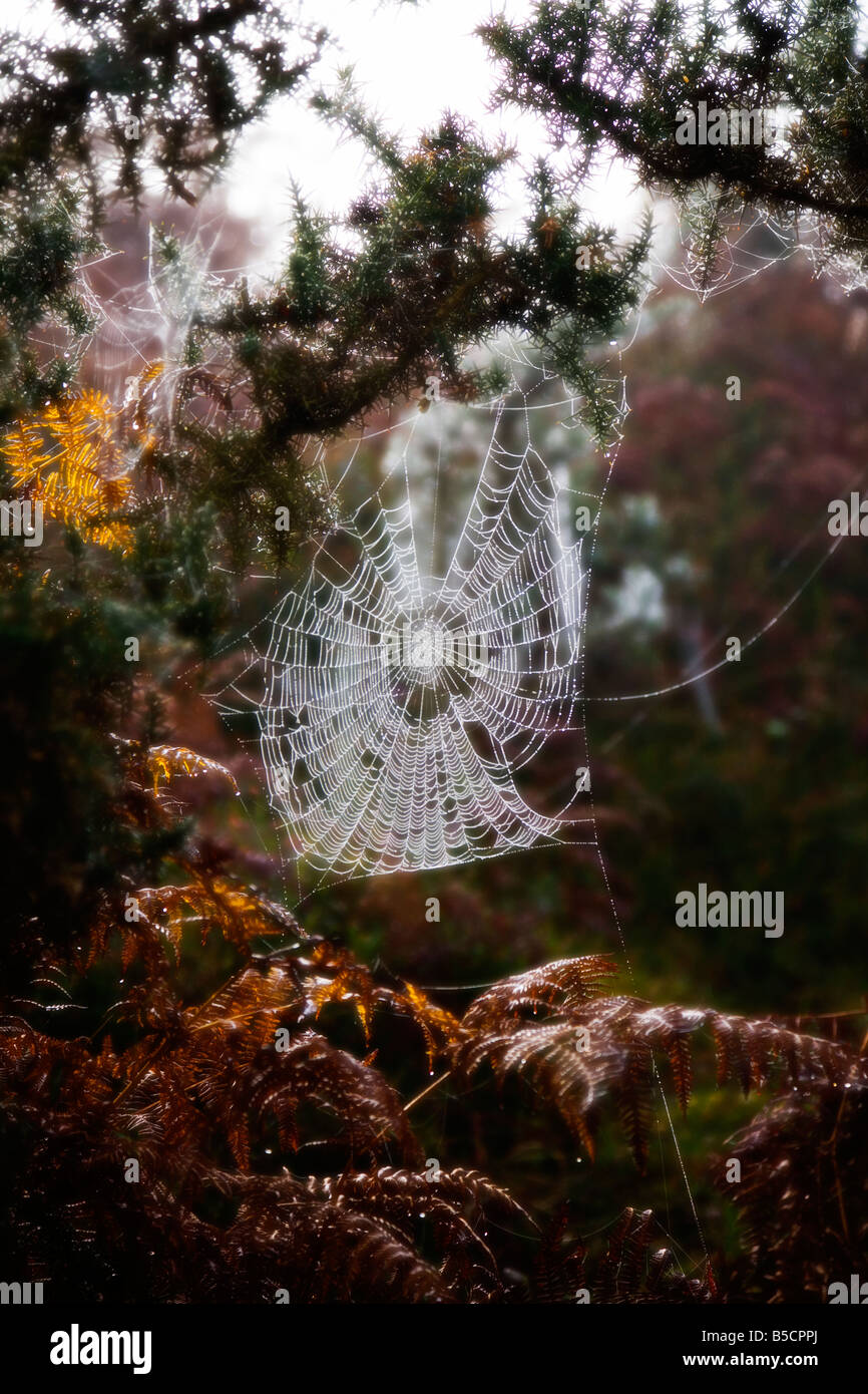 A large cobweb covered in early morning dew. New Forest, Hampshire. UK. Late Autumn. - Stock Image