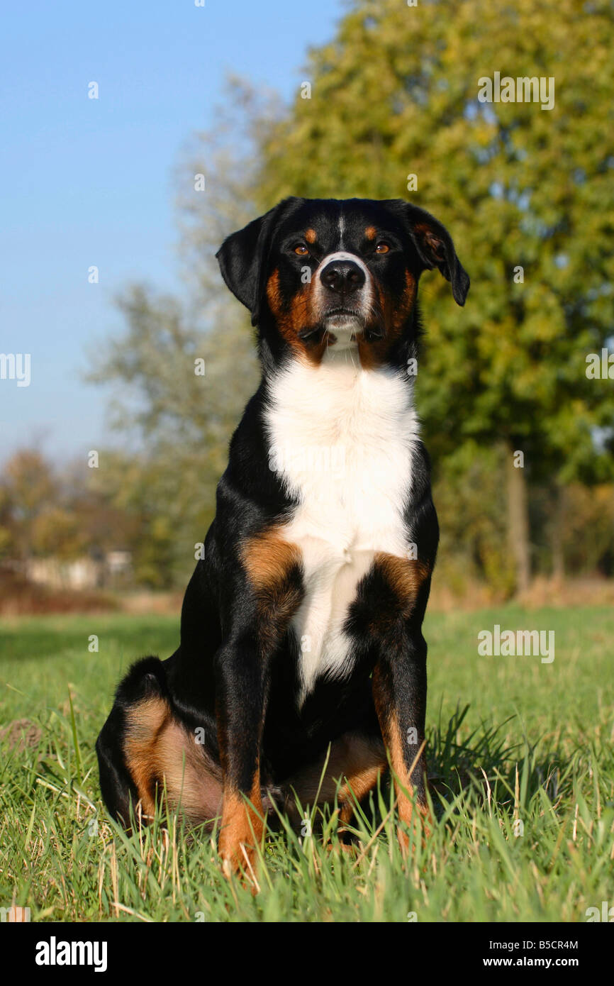 Appenzell Mountain Dog Stock Photo 20565236 Alamy