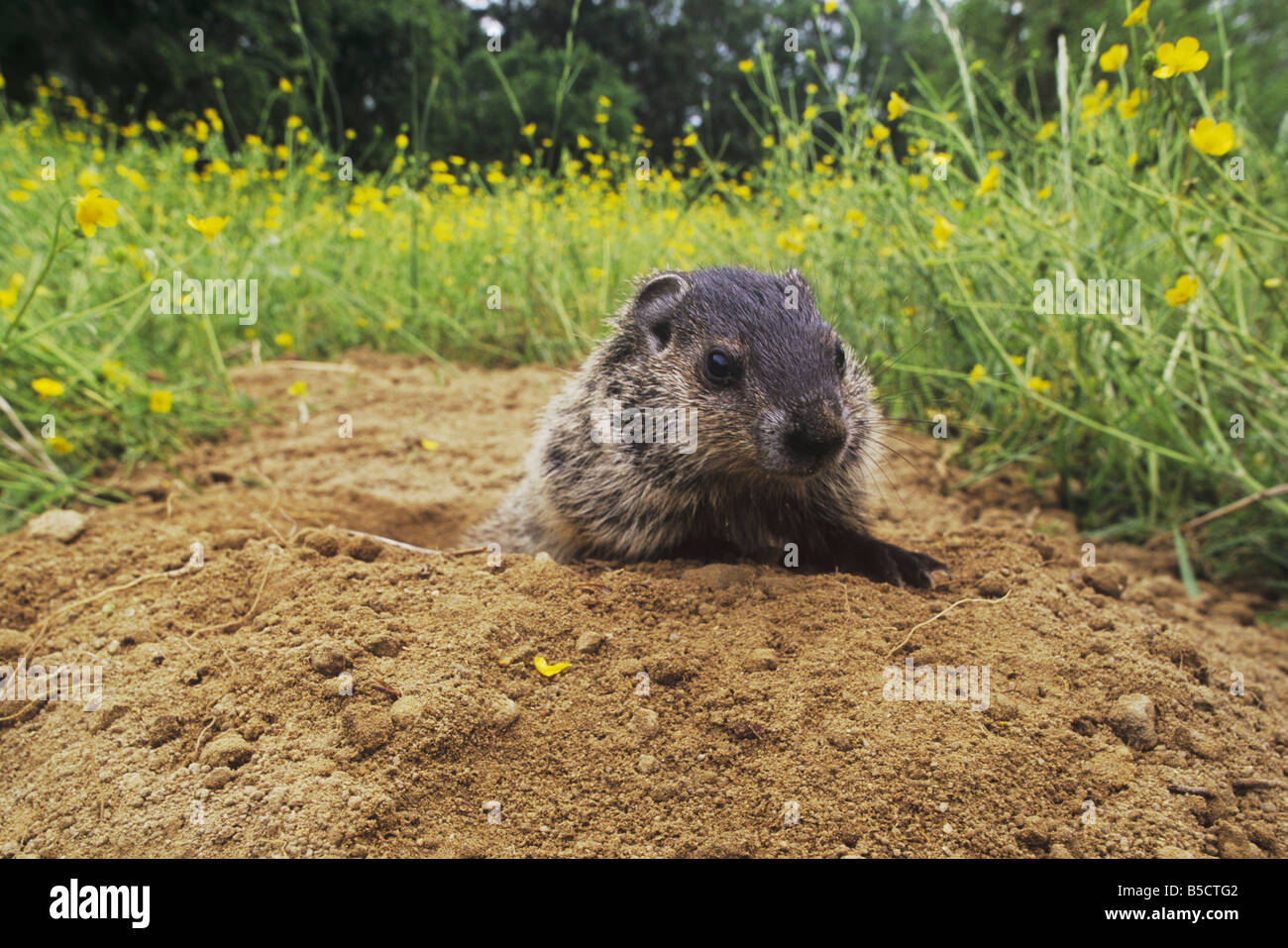 Groundhog Woodchuck Marmota monax young looking out of burrow Raleigh Wake County North Carolina USA - Stock Image