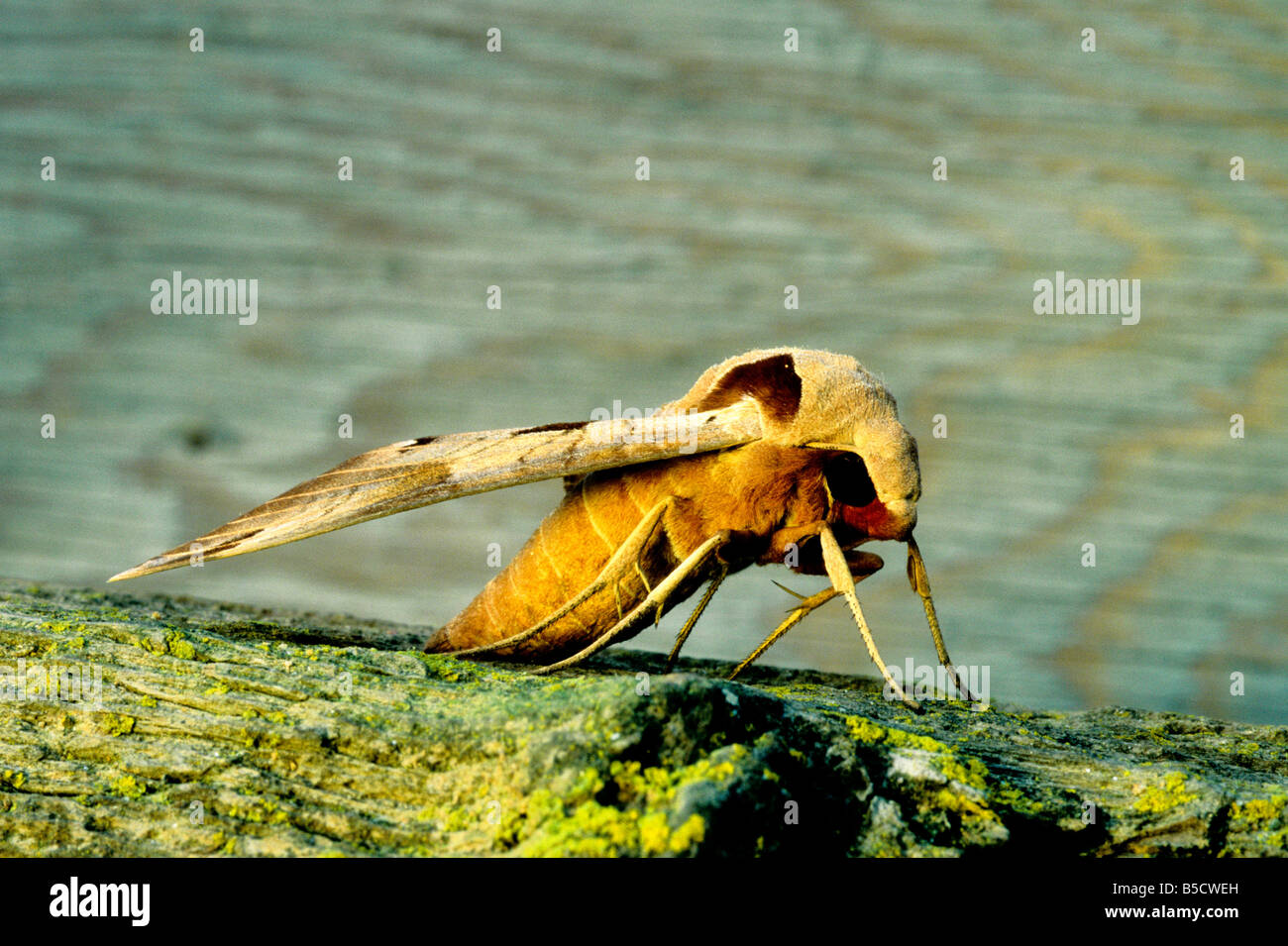Achemon Sphinx Moth. - Stock Image