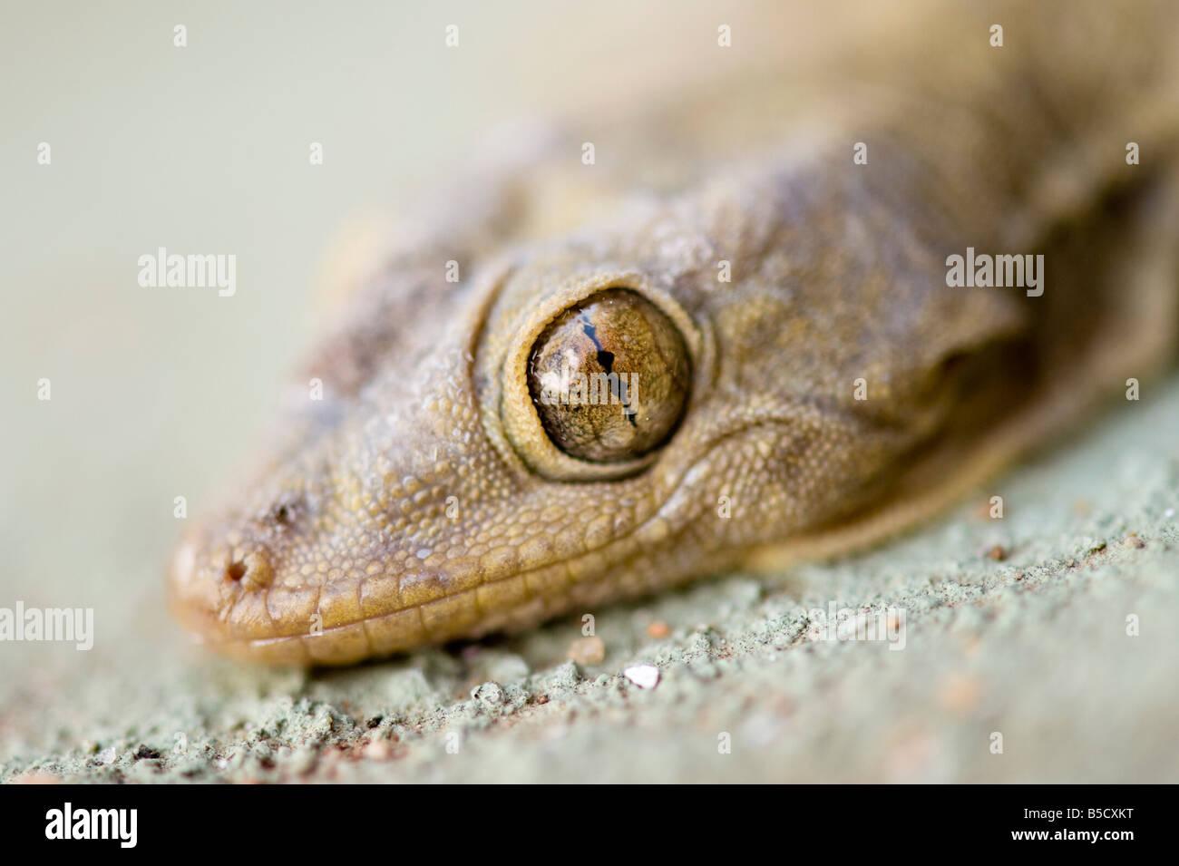 Indian Gecko head. India - Stock Image