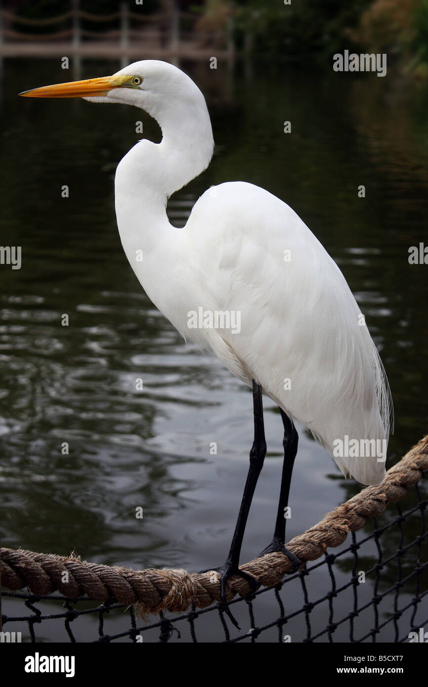 USA. This Great White Egret (Ardea alba) rests a spell before flying off. - Stock Image