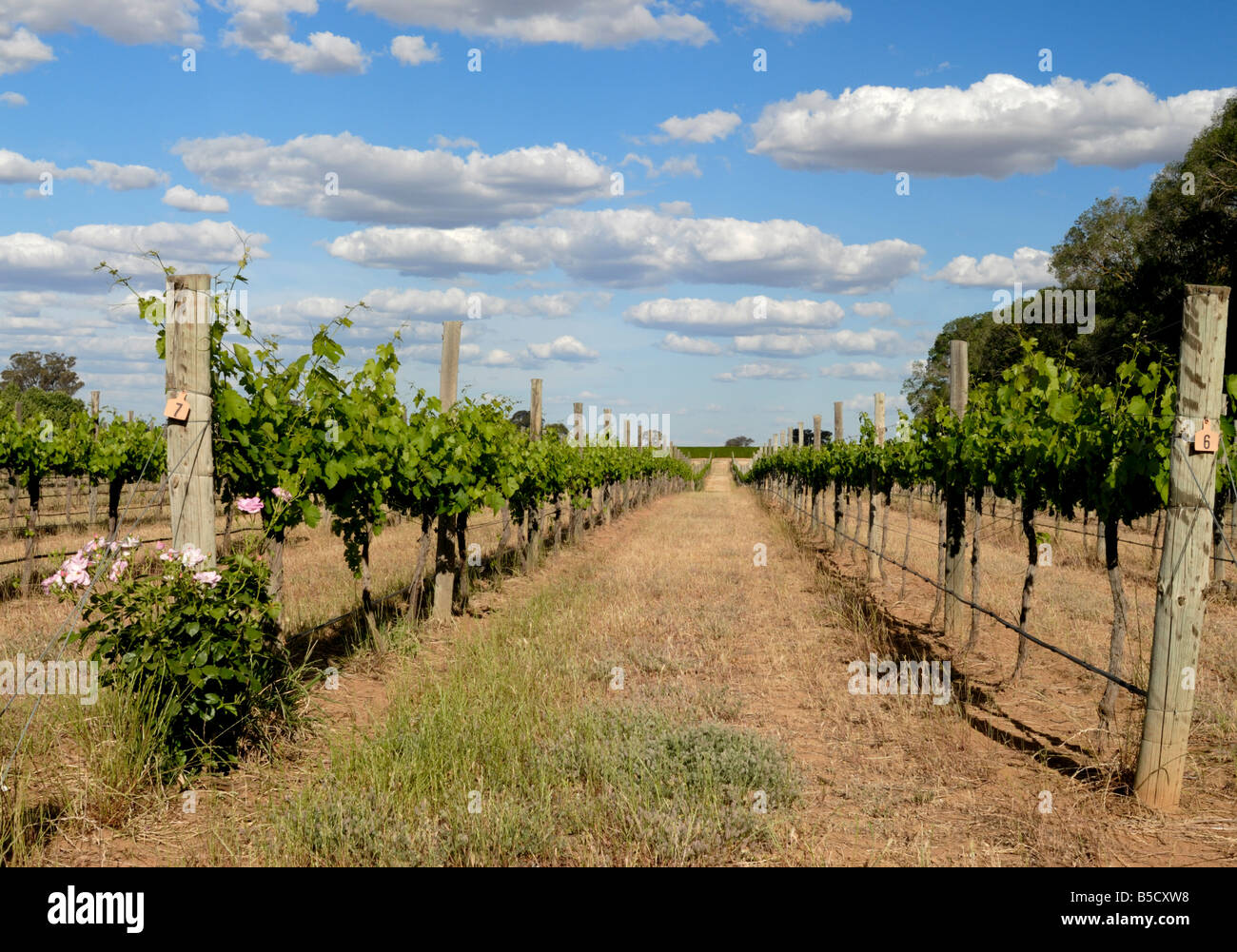Panoramic view of a vineyard in Victoria, Australia in late afternoon Stock Photo