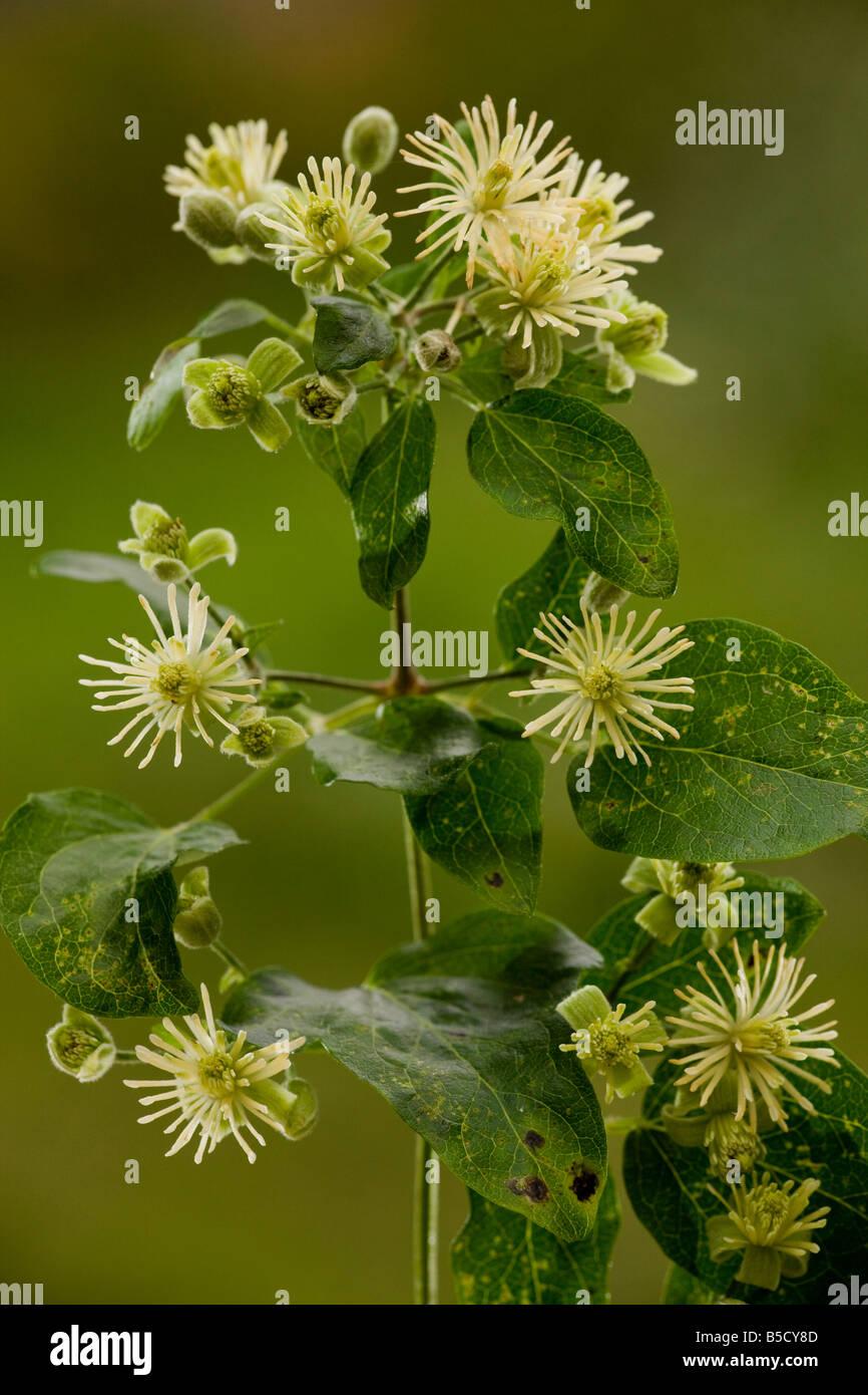 Traveller's joy or Old man's beard Clematis vitalba in flower Dorset - Stock Image