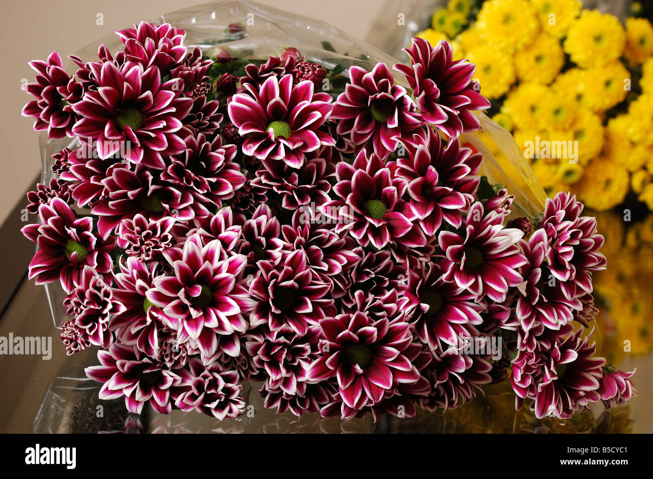 Two Tone Chrysanthemums often called mums - Stock Image