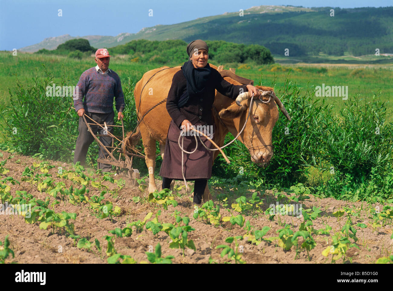 Old couple with a bullock subsistence farmers inter row cultivating in field of bean plants in the Laxe district - Stock Image